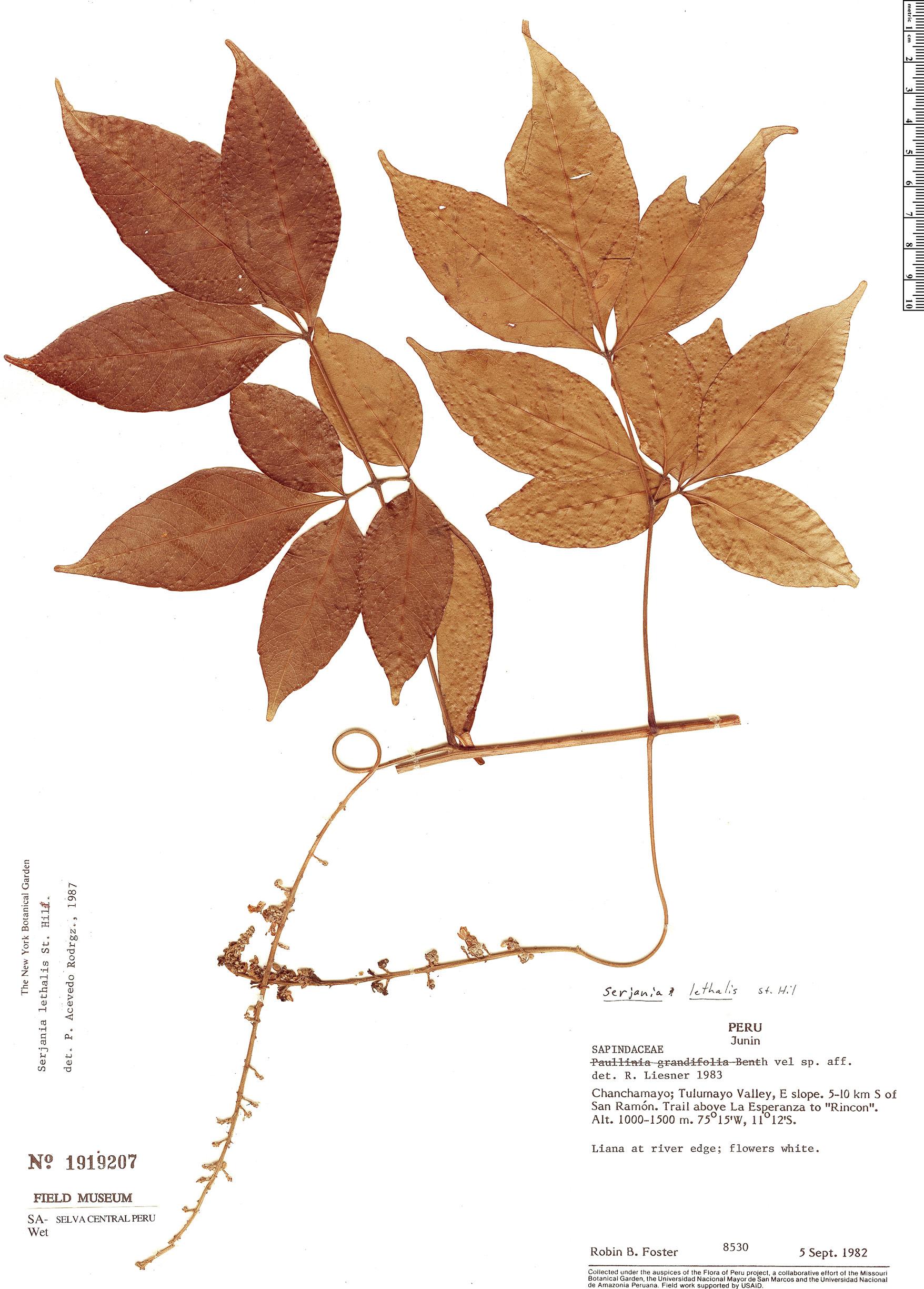 Specimen: Serjania lethalis