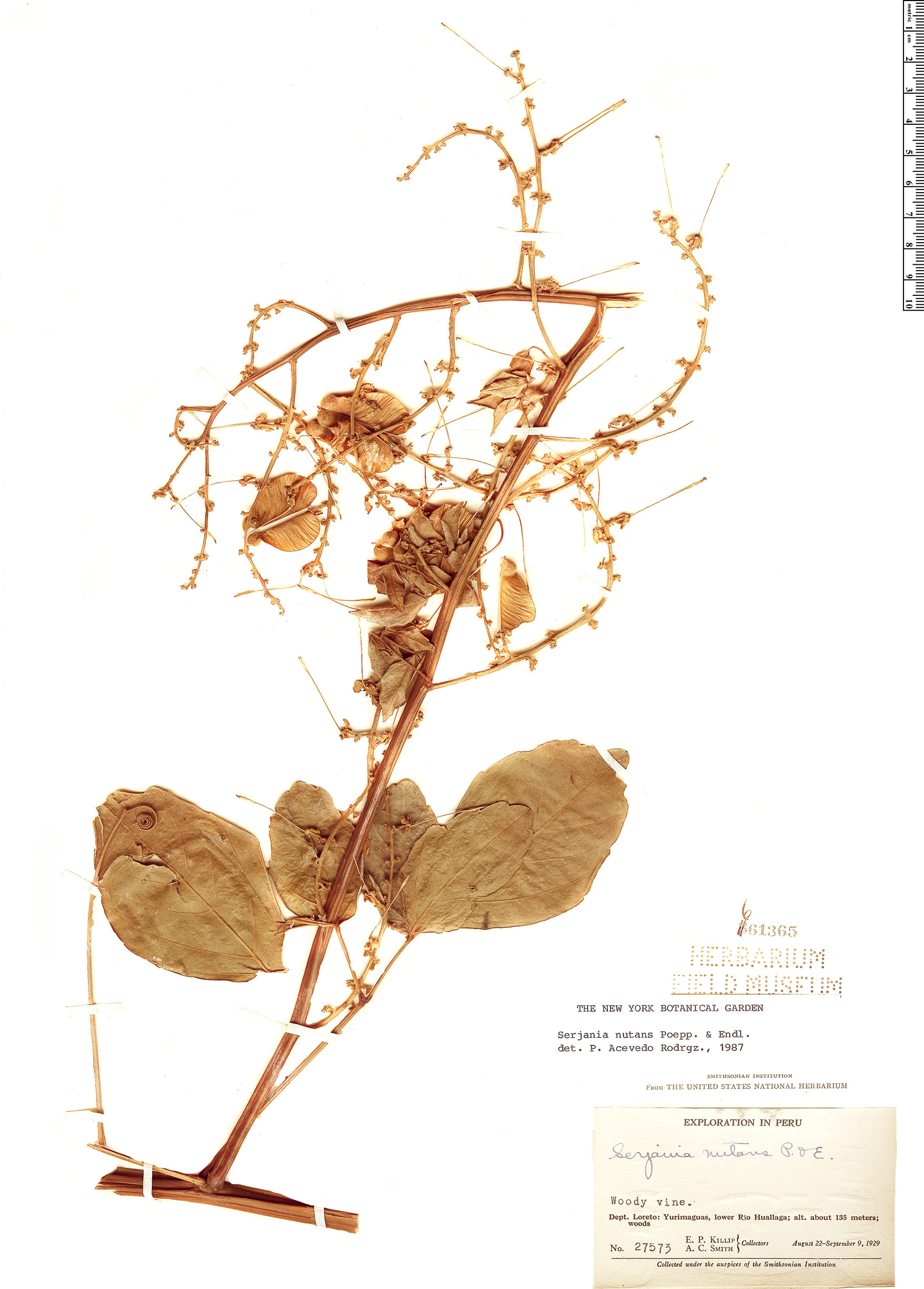 Specimen: Serjania nutans