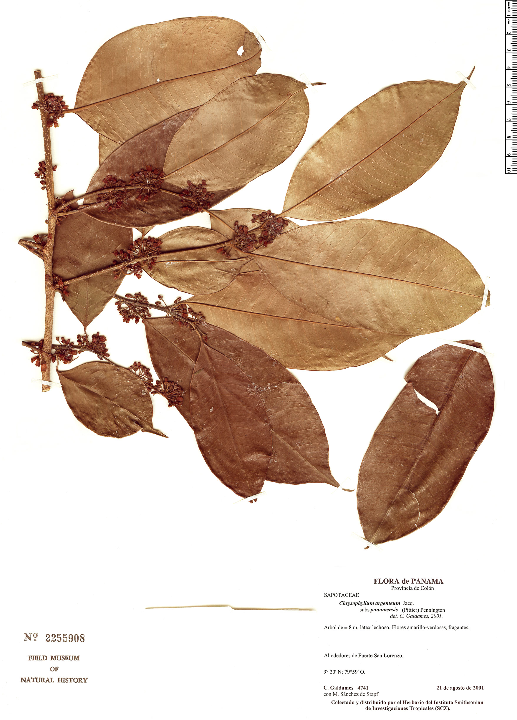 Specimen: Chrysophyllum argenteum