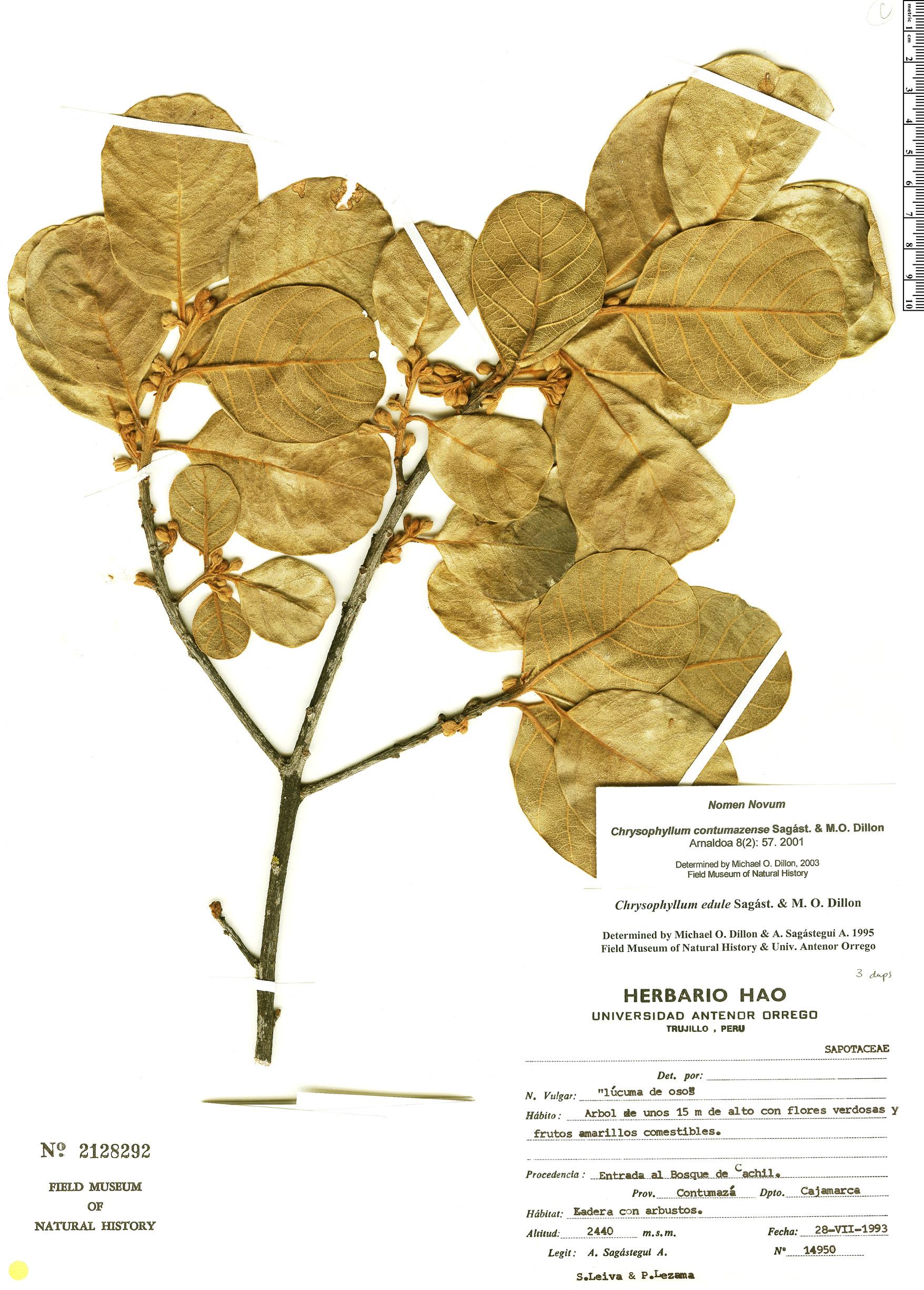 Espécime: Chrysophyllum contumacense