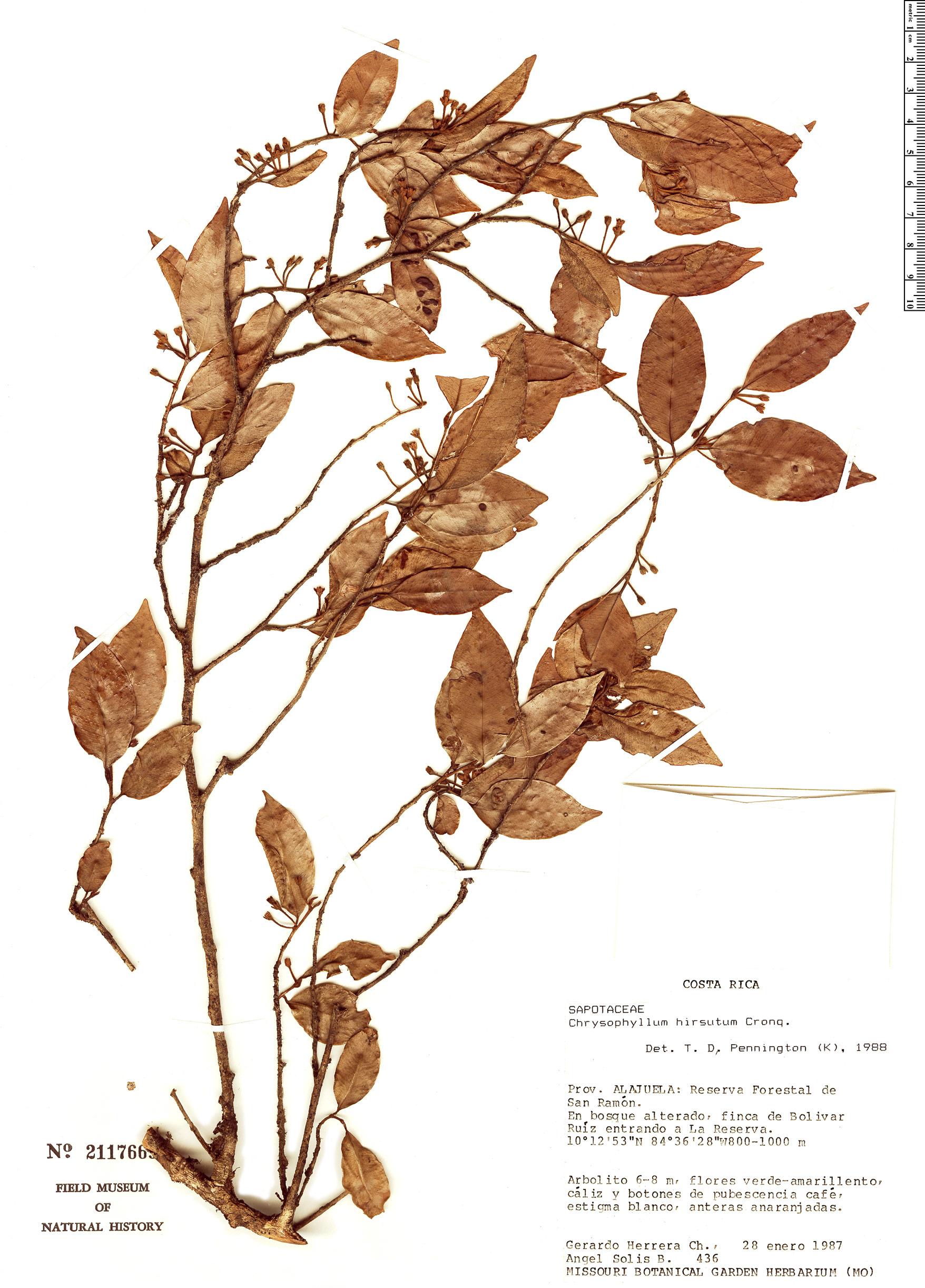 Specimen: Chrysophyllum hirsutum