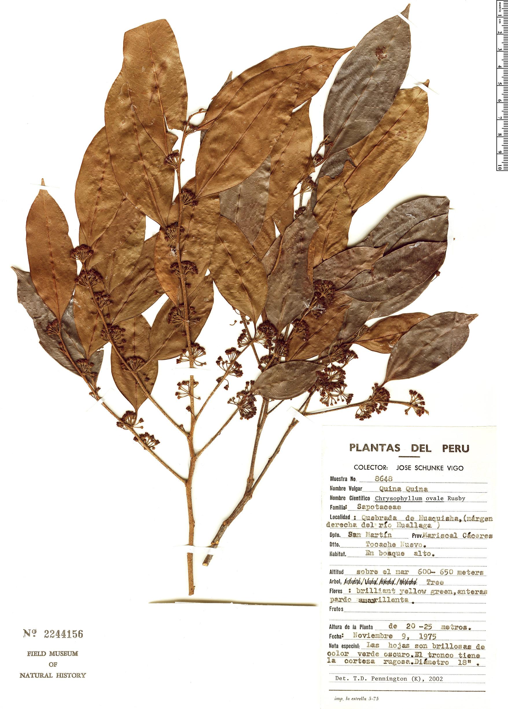 Specimen: Chrysophyllum ovale