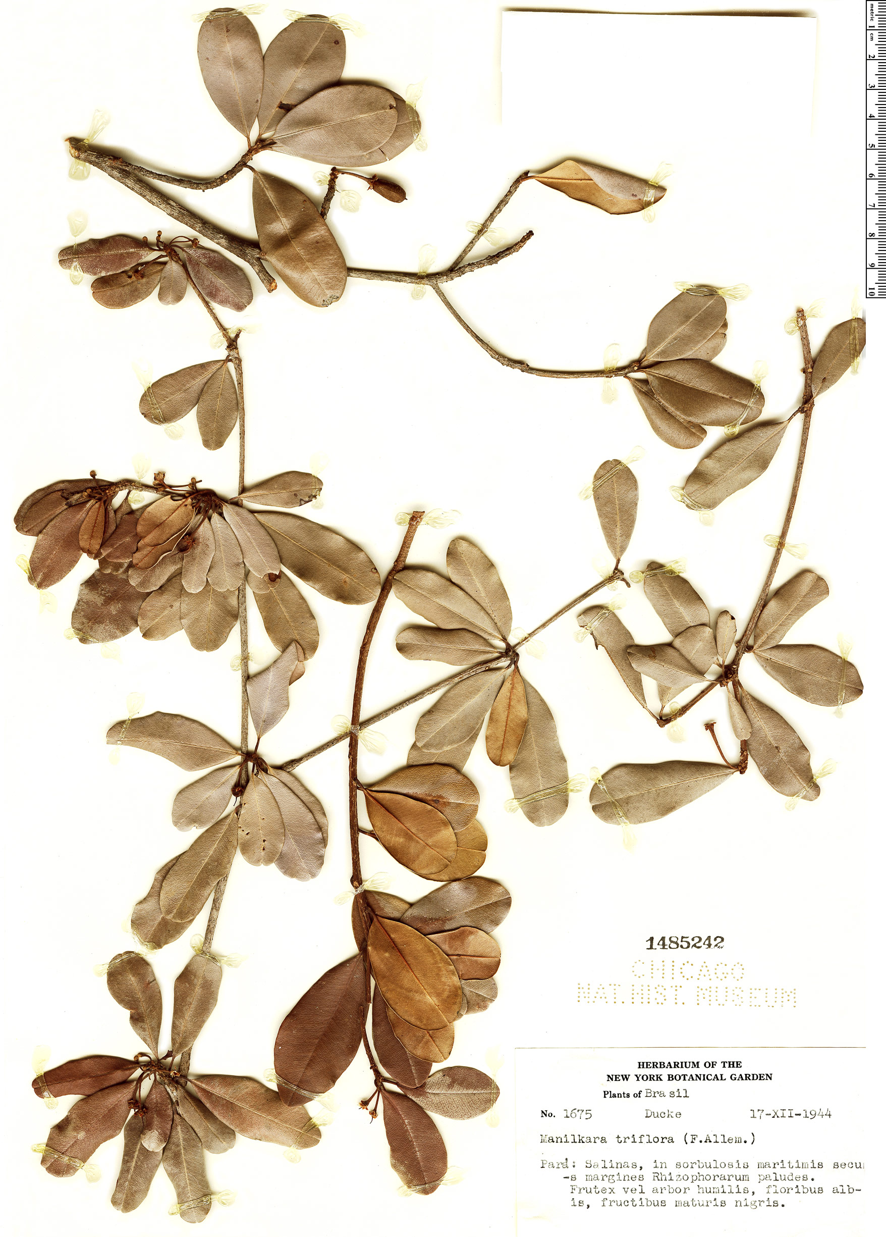 Espécimen: Manilkara triflora
