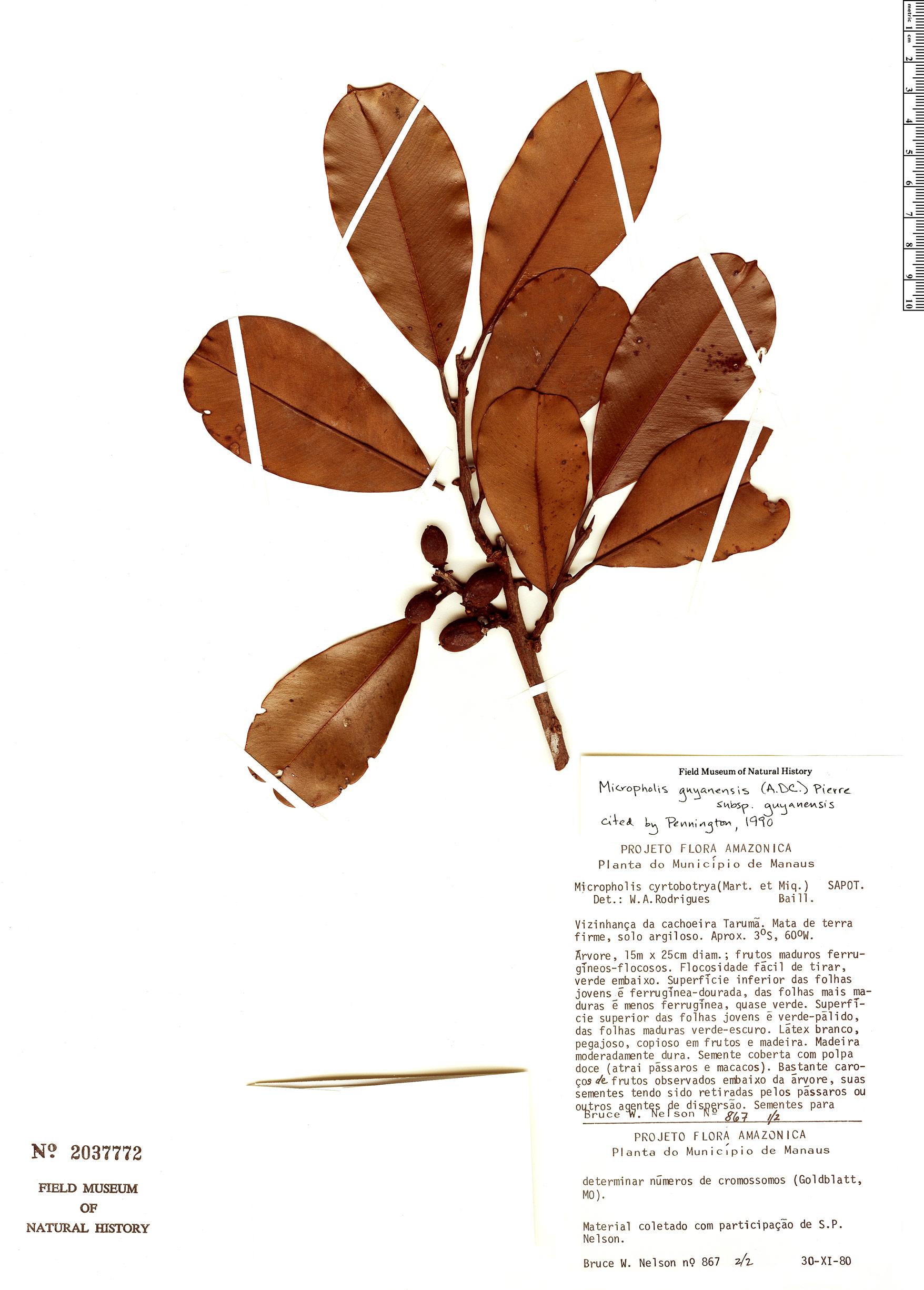 Specimen: Micropholis guyanensis