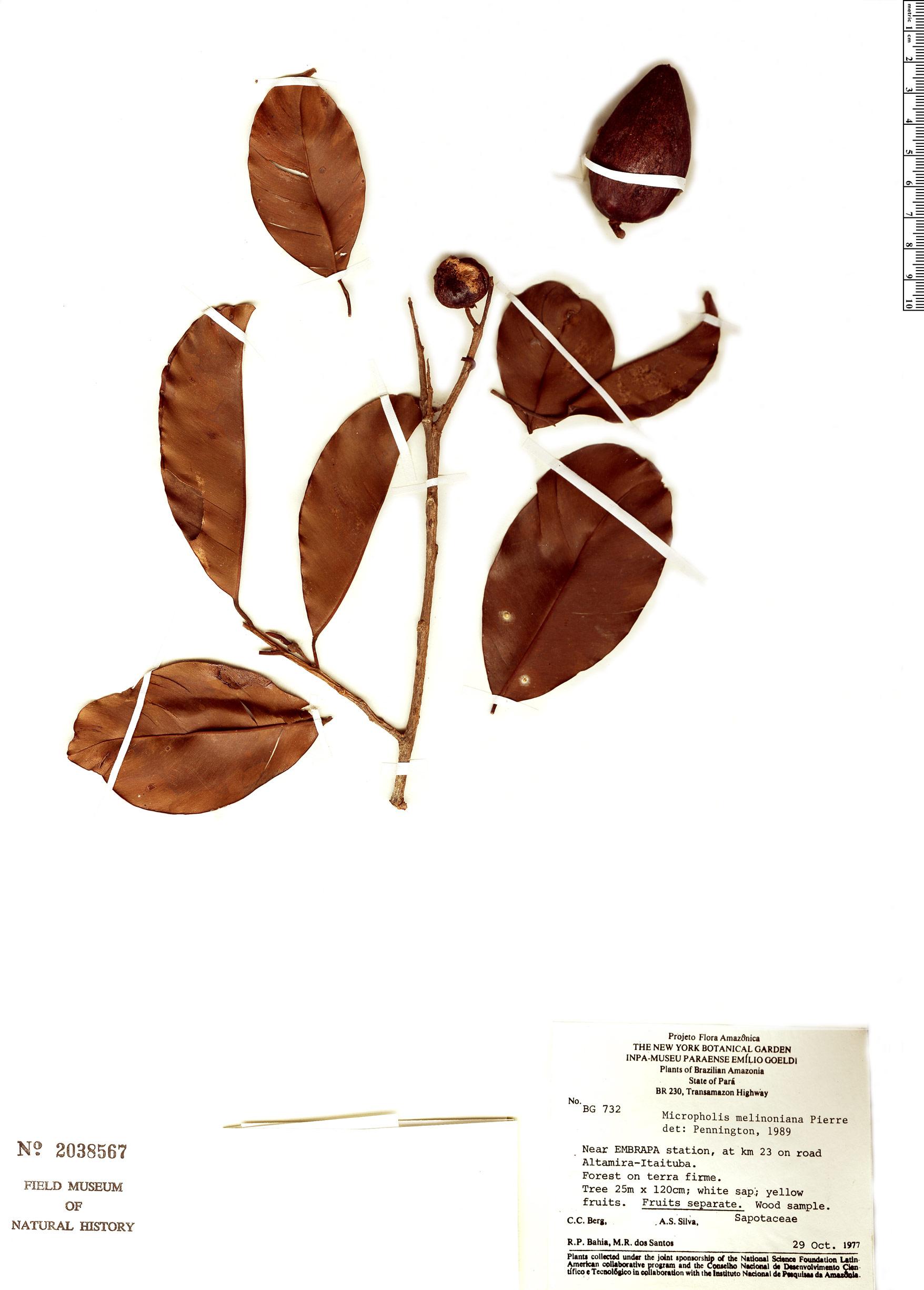 Specimen: Micropholis melinoniana