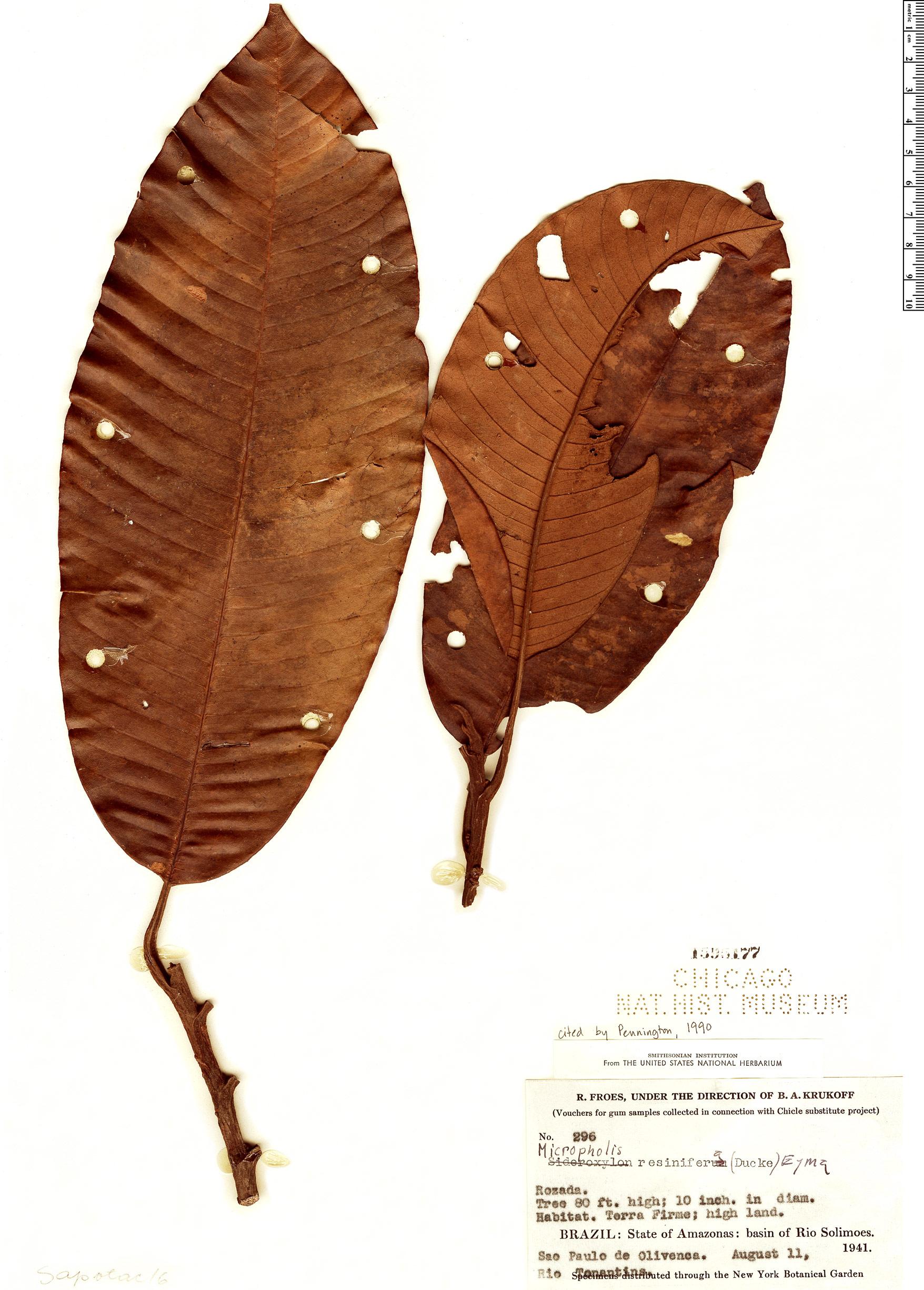 Specimen: Micropholis resinifera