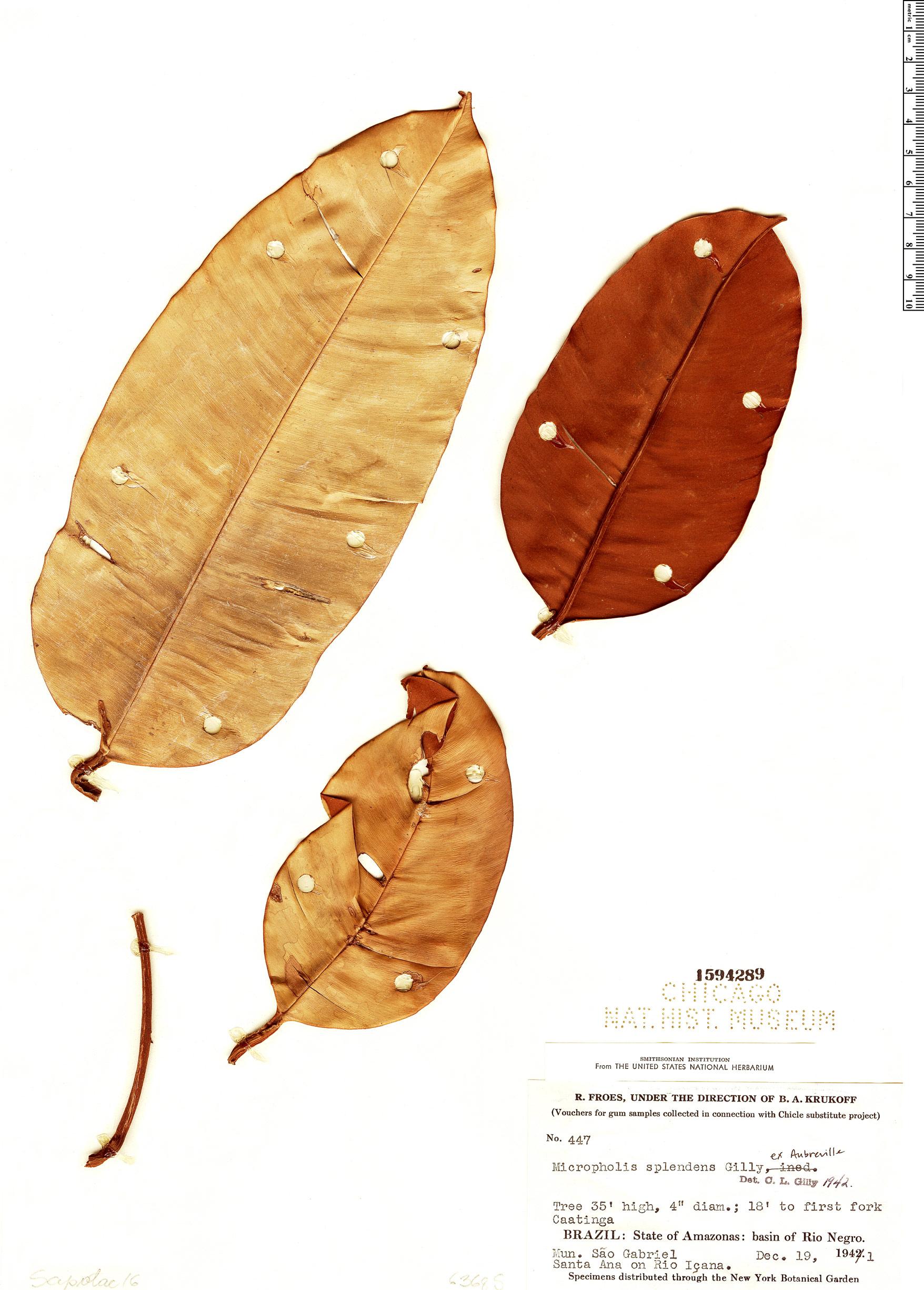 Espécimen: Micropholis splendens
