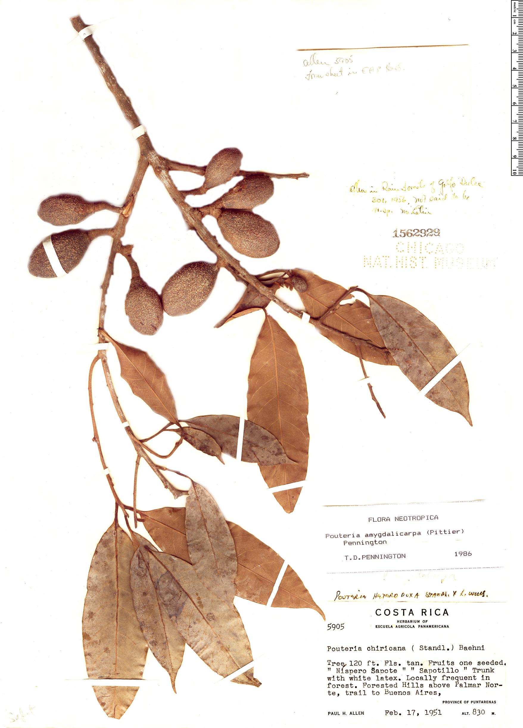 Specimen: Pouteria amygdalicarpa