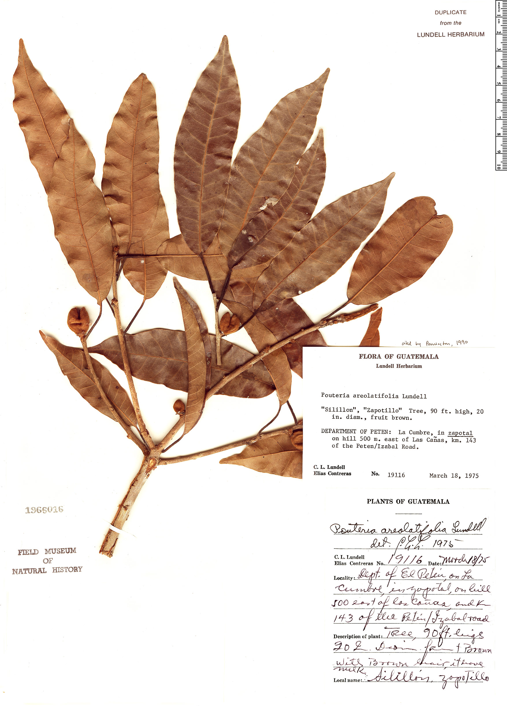 Specimen: Pouteria areolatifolia