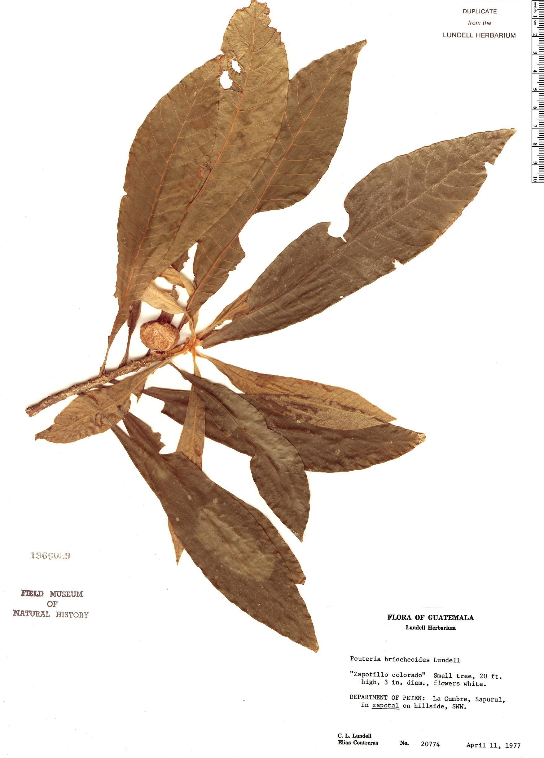 Specimen: Pouteria briocheoides