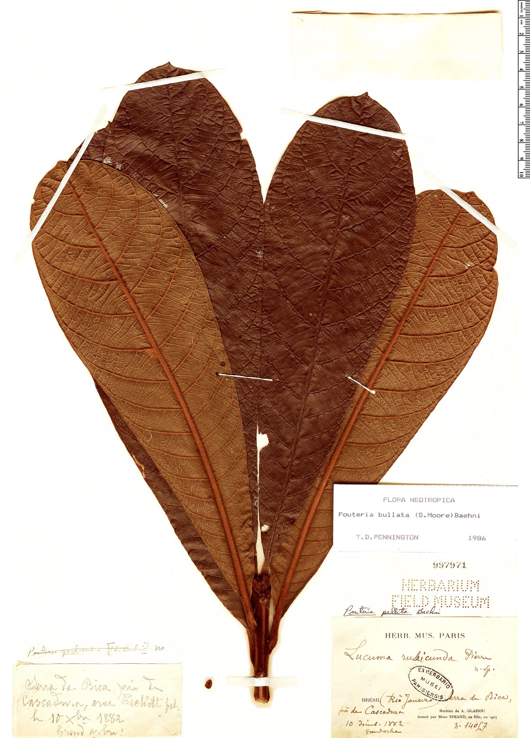 Specimen: Pouteria bullata