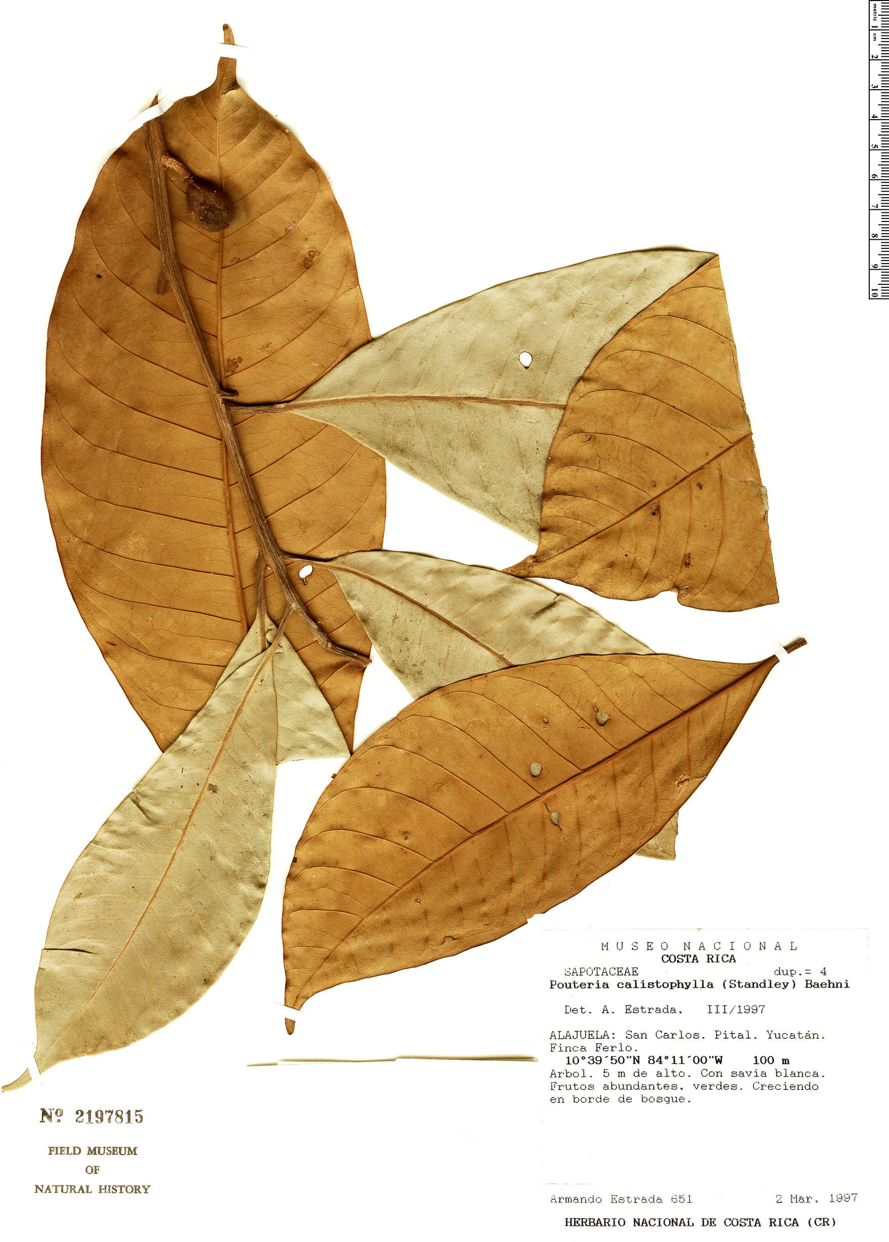 Espécimen: Pouteria calistophylla