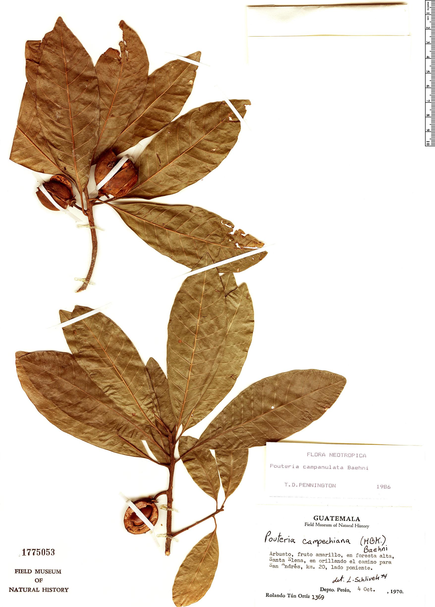 Specimen: Pouteria campanulata
