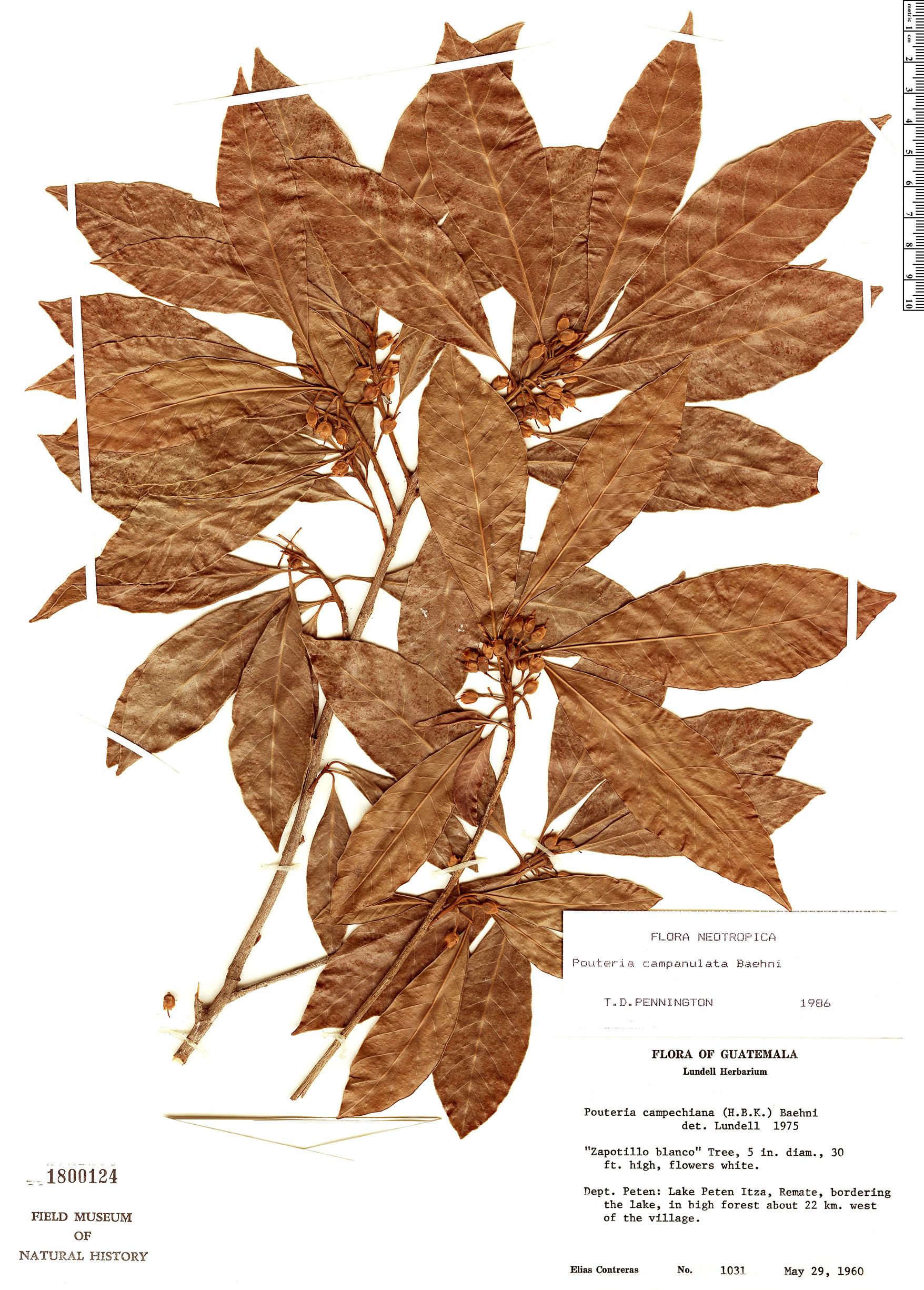 Espécime: Pouteria campanulata