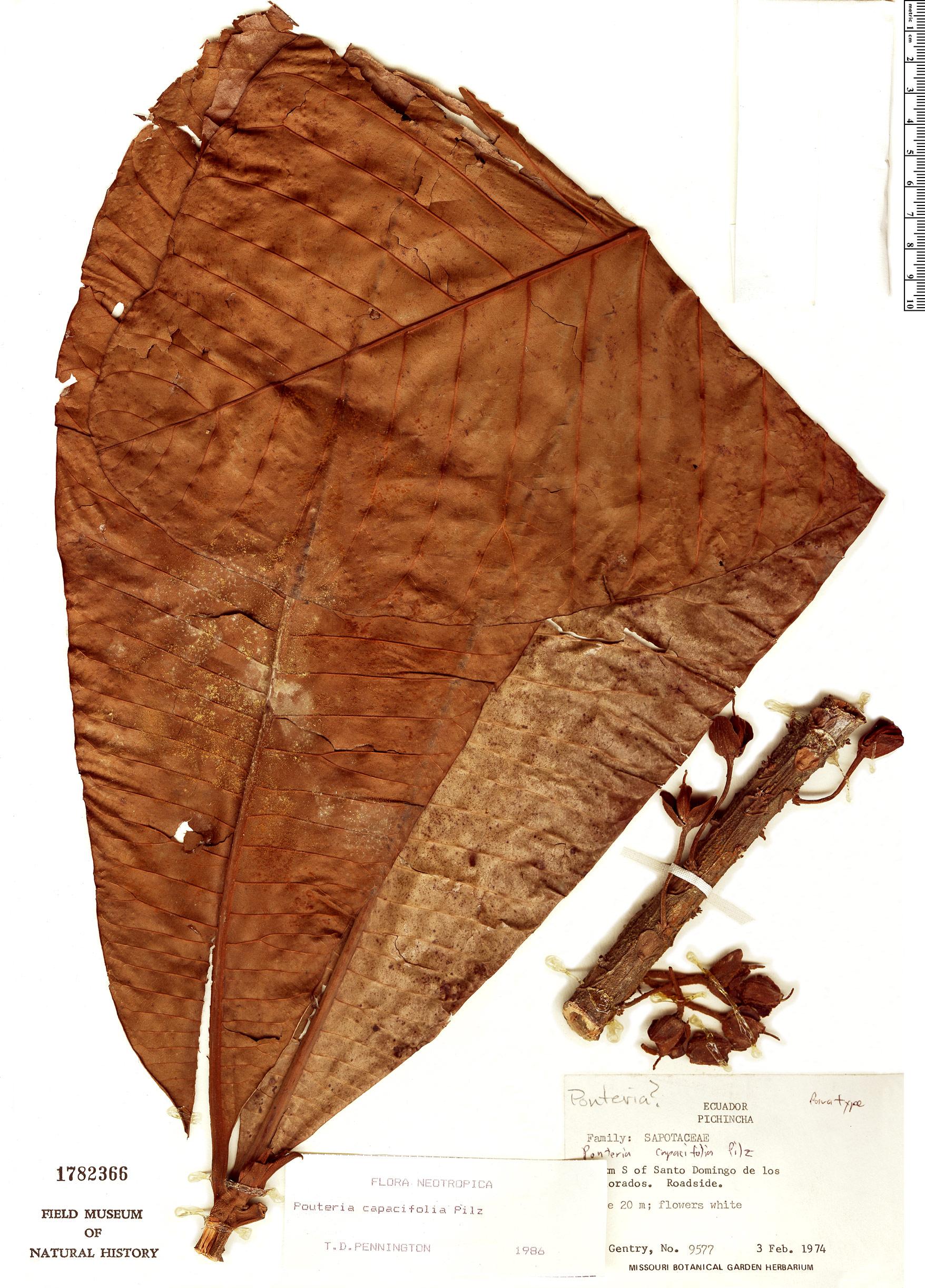 Specimen: Pouteria capacifolia