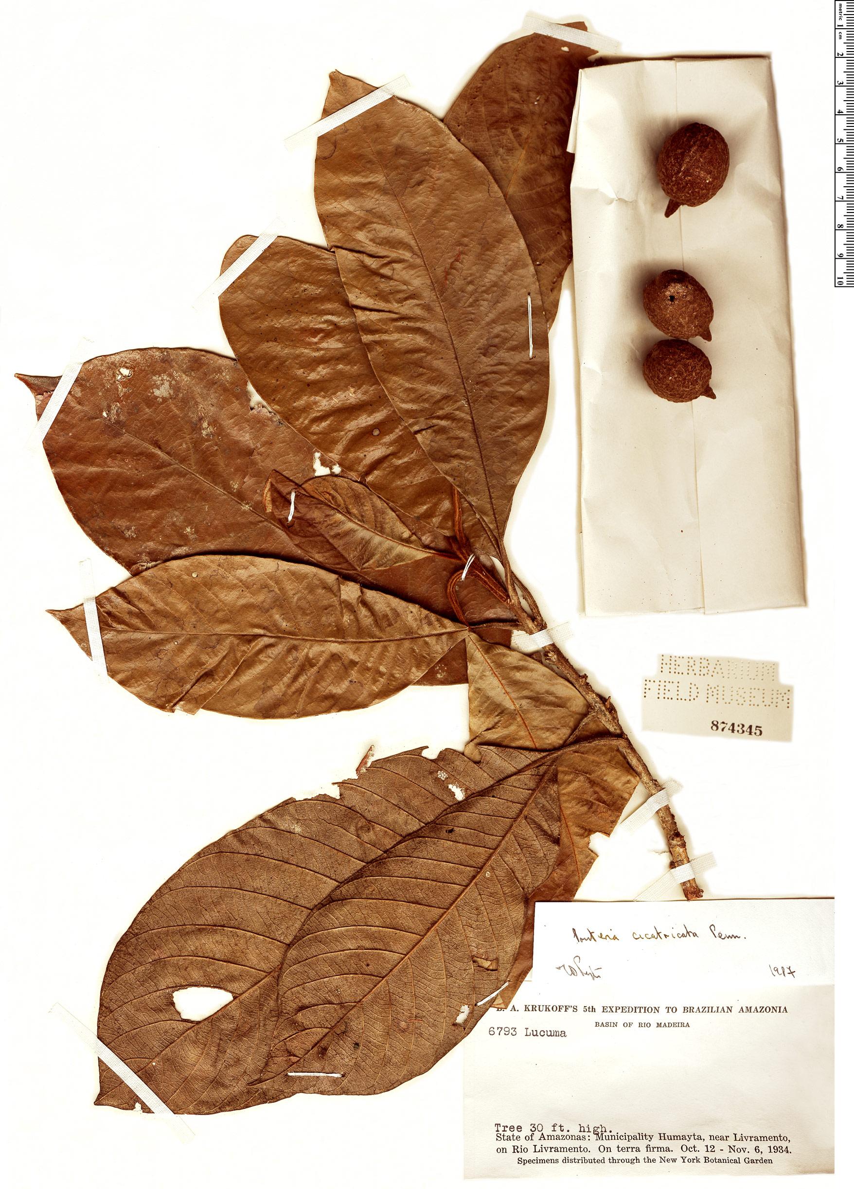 Specimen: Pouteria cicatricata