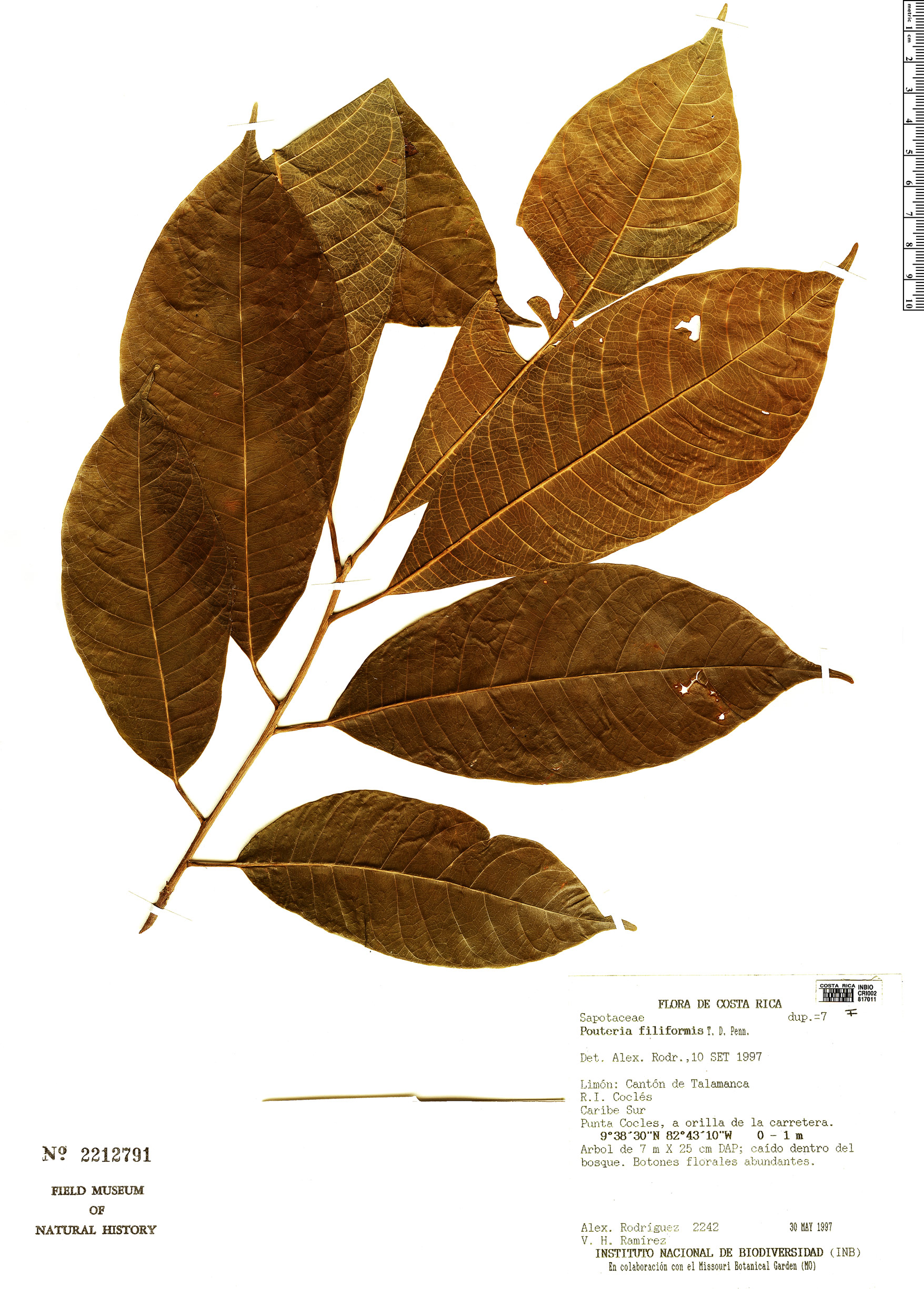 Specimen: Pouteria filiformis