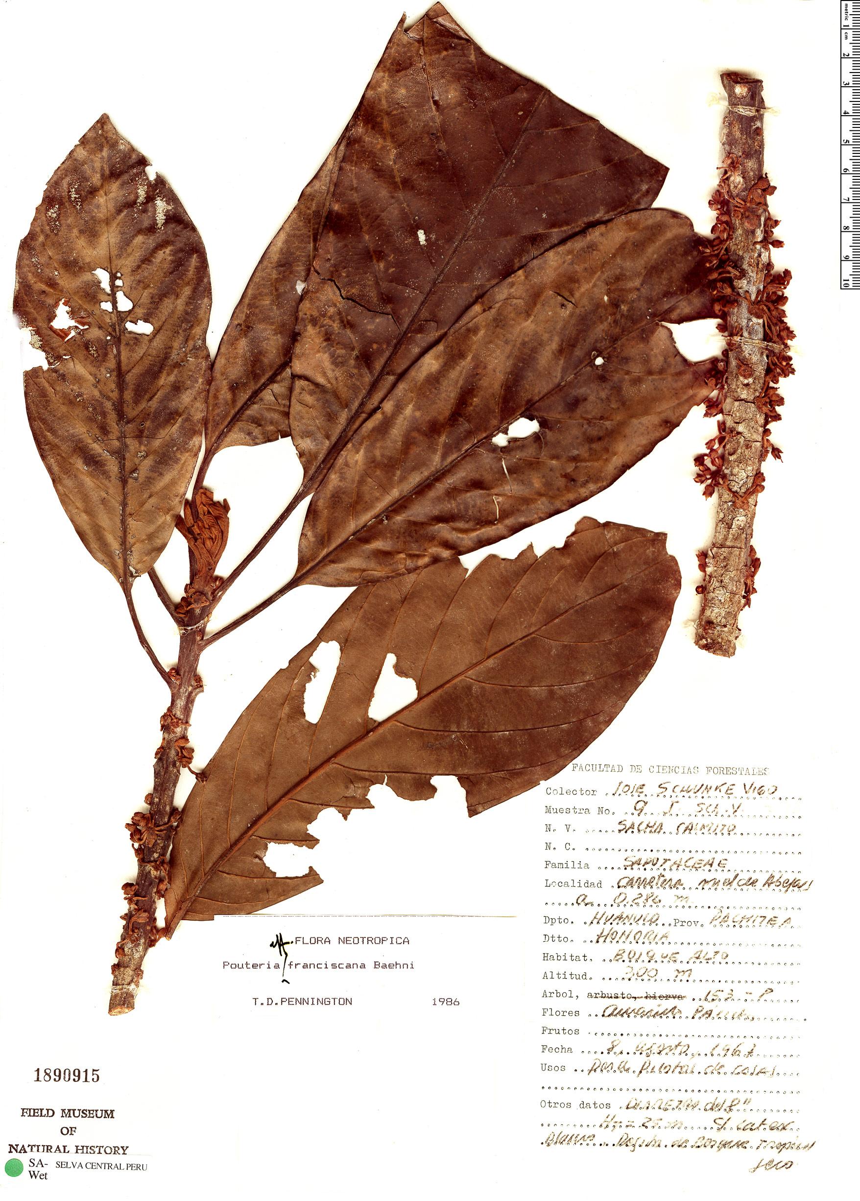 Specimen: Pouteria franciscana