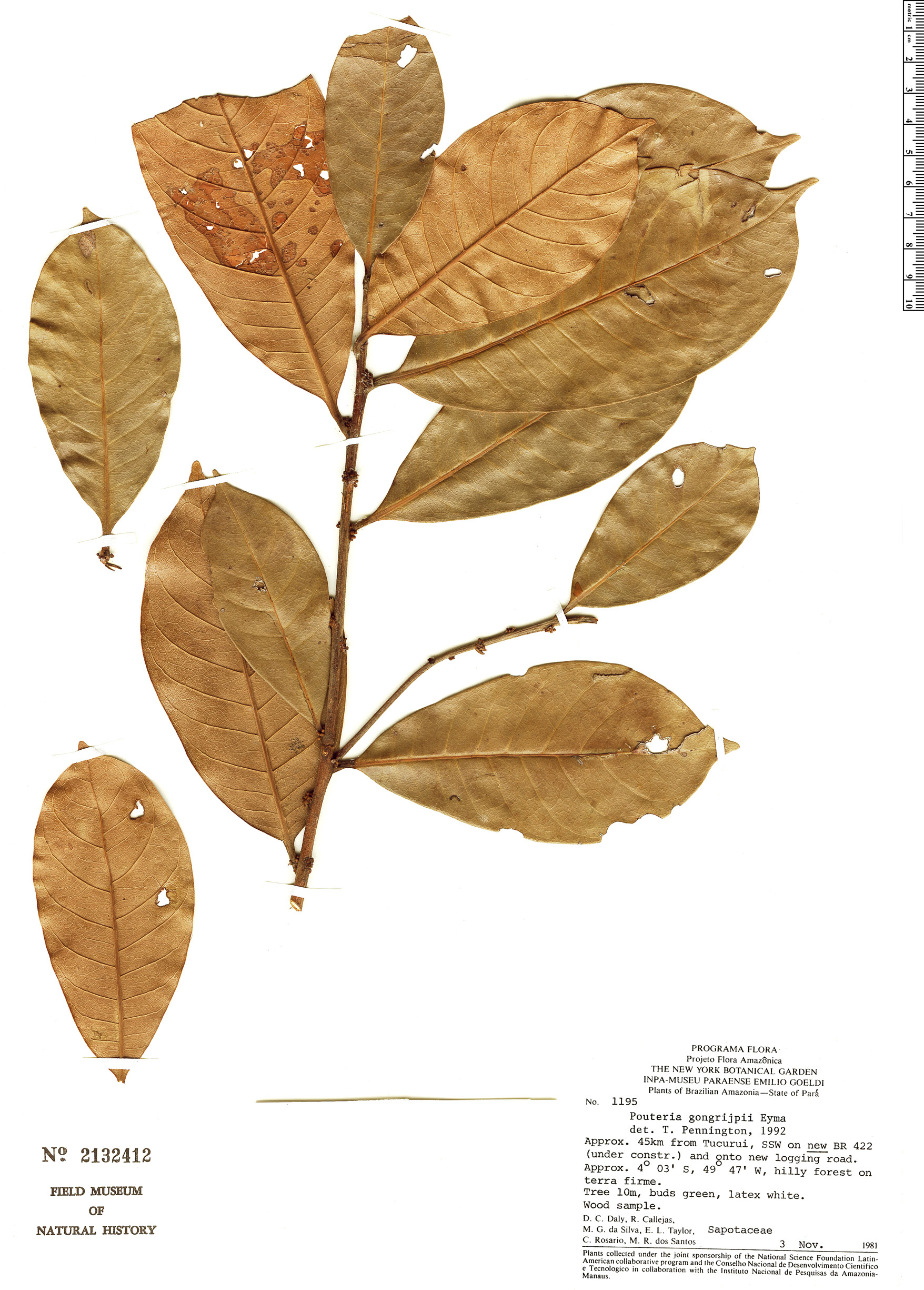 Specimen: Pouteria gongrijpii
