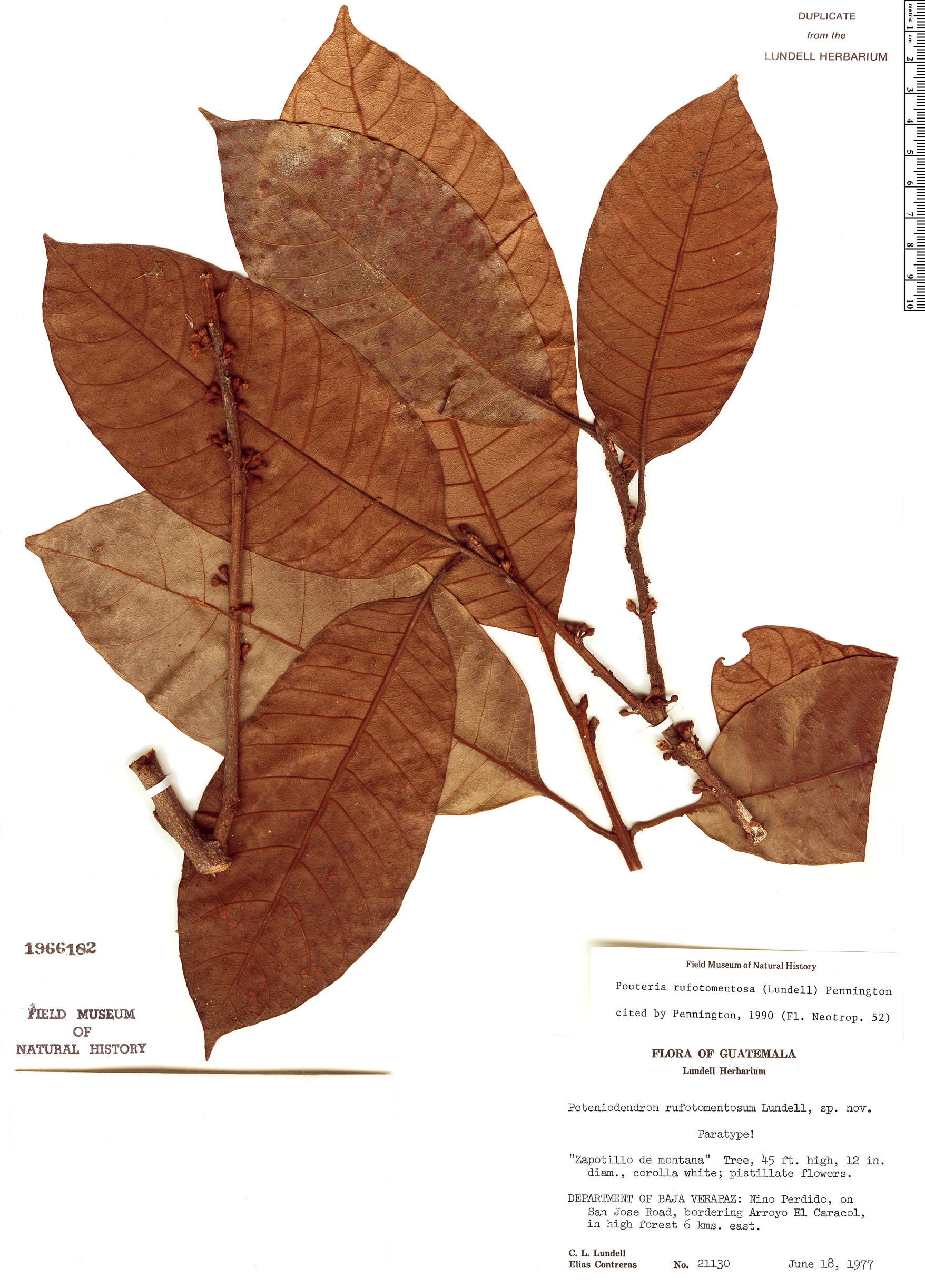 Specimen: Pouteria rufotomentosa