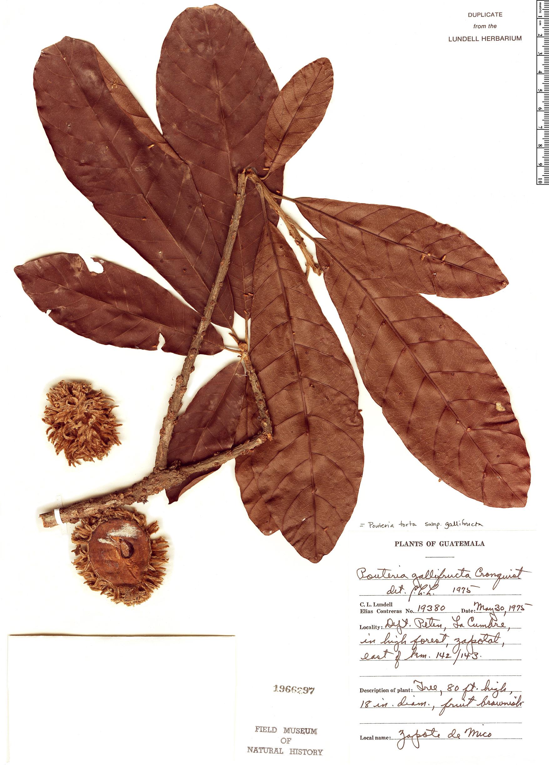 Specimen: Pouteria torta