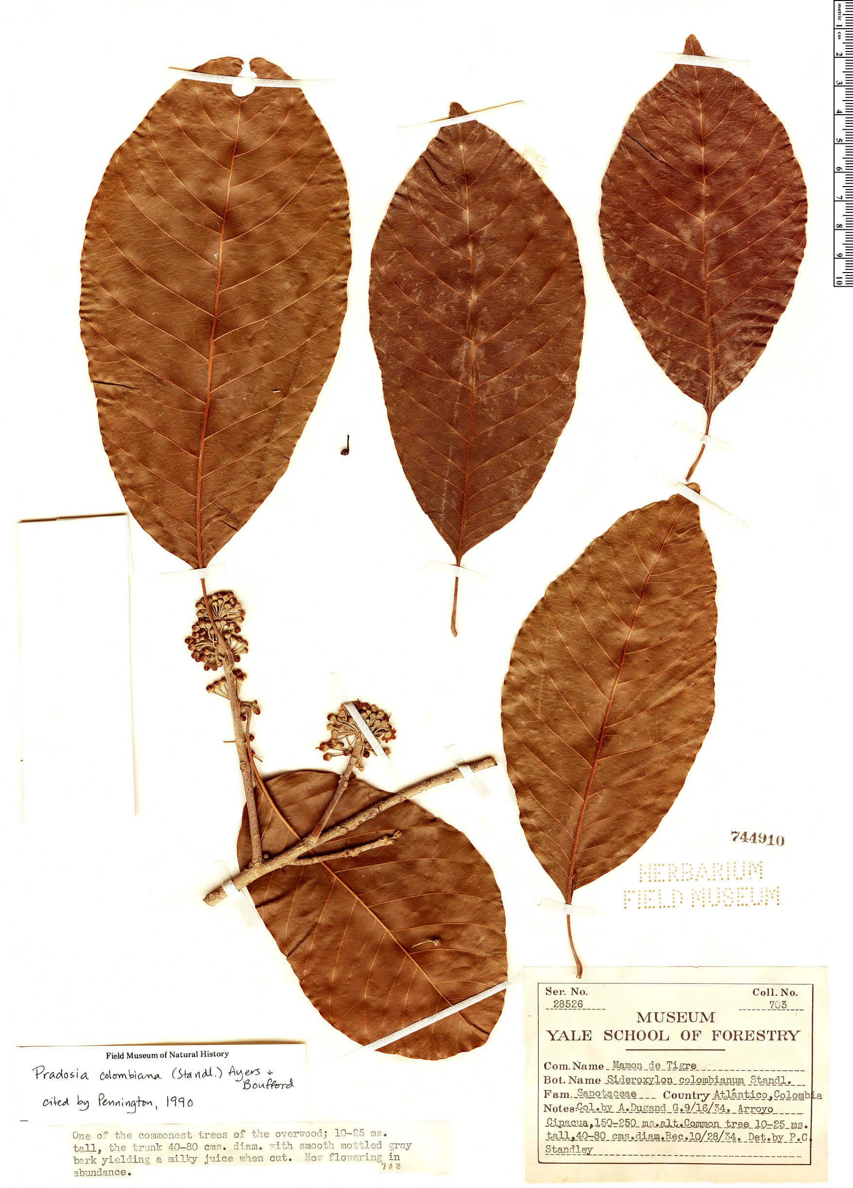 Specimen: Pradosia colombiana