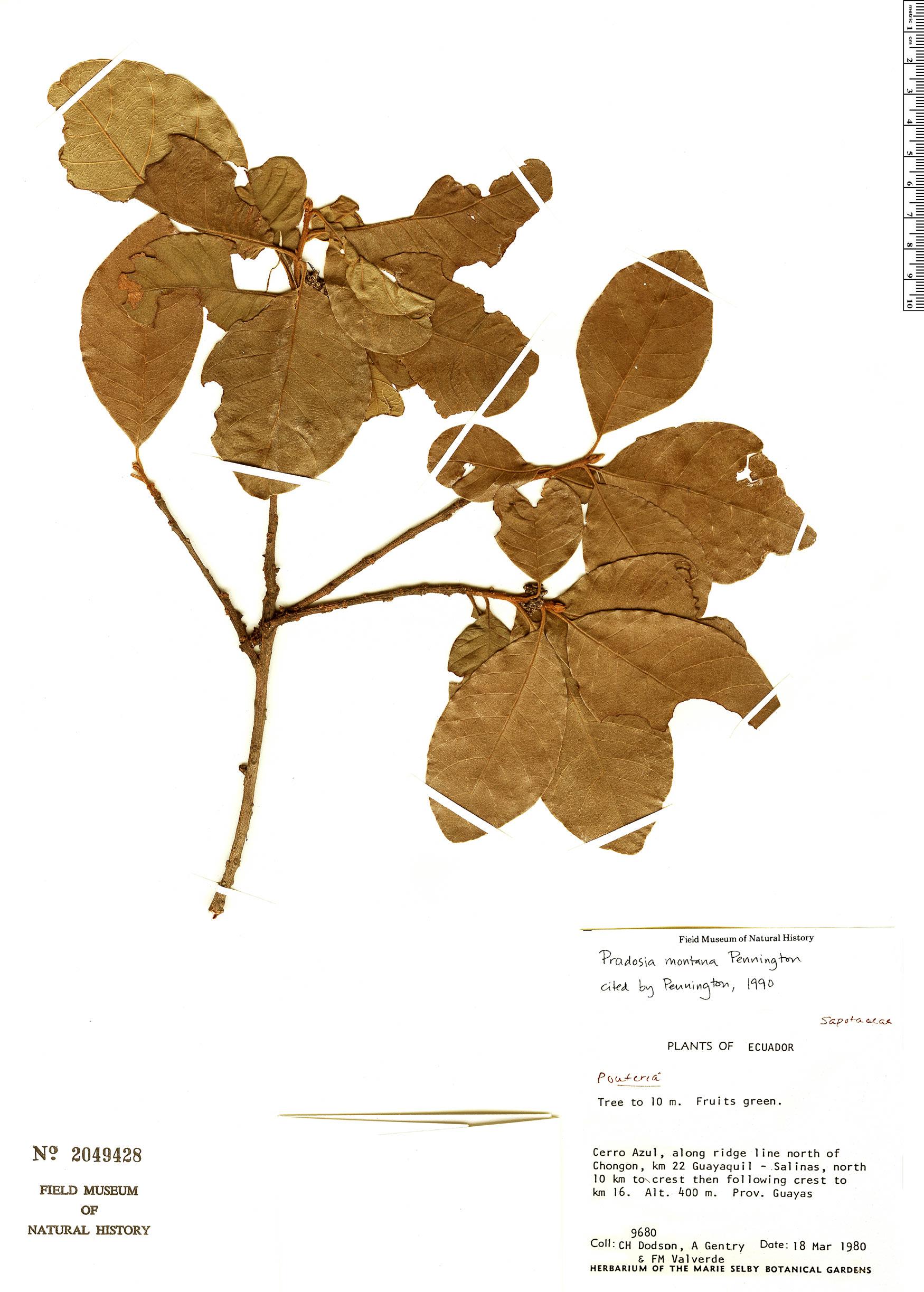 Specimen: Pradosia montana