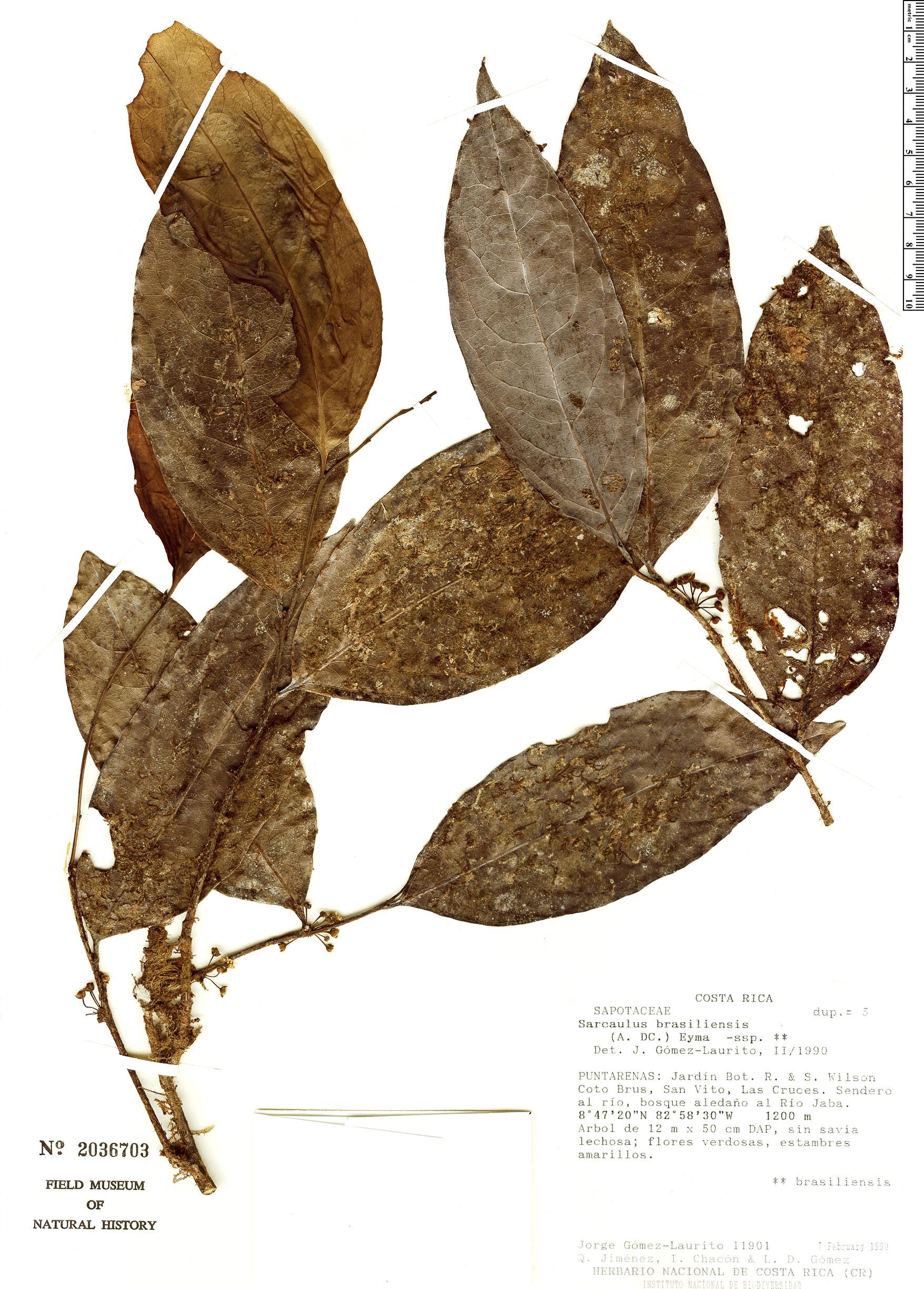 Specimen: Sarcaulus brasiliensis