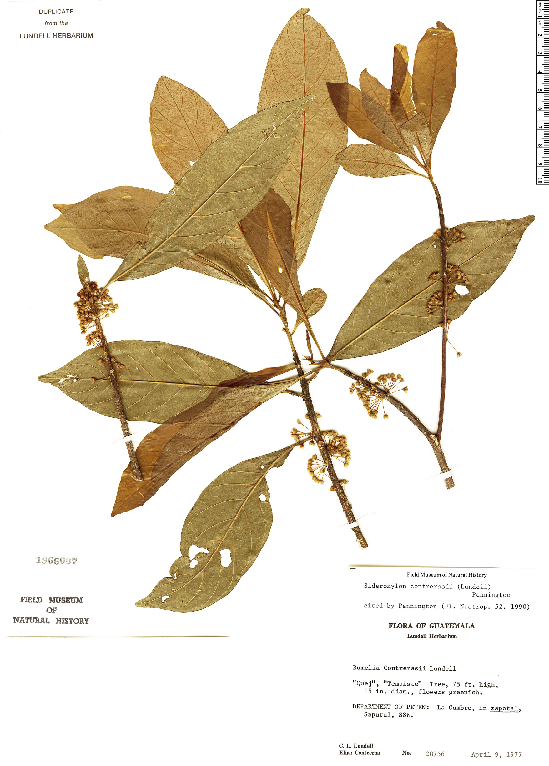 Specimen: Sideroxylon contrerasii