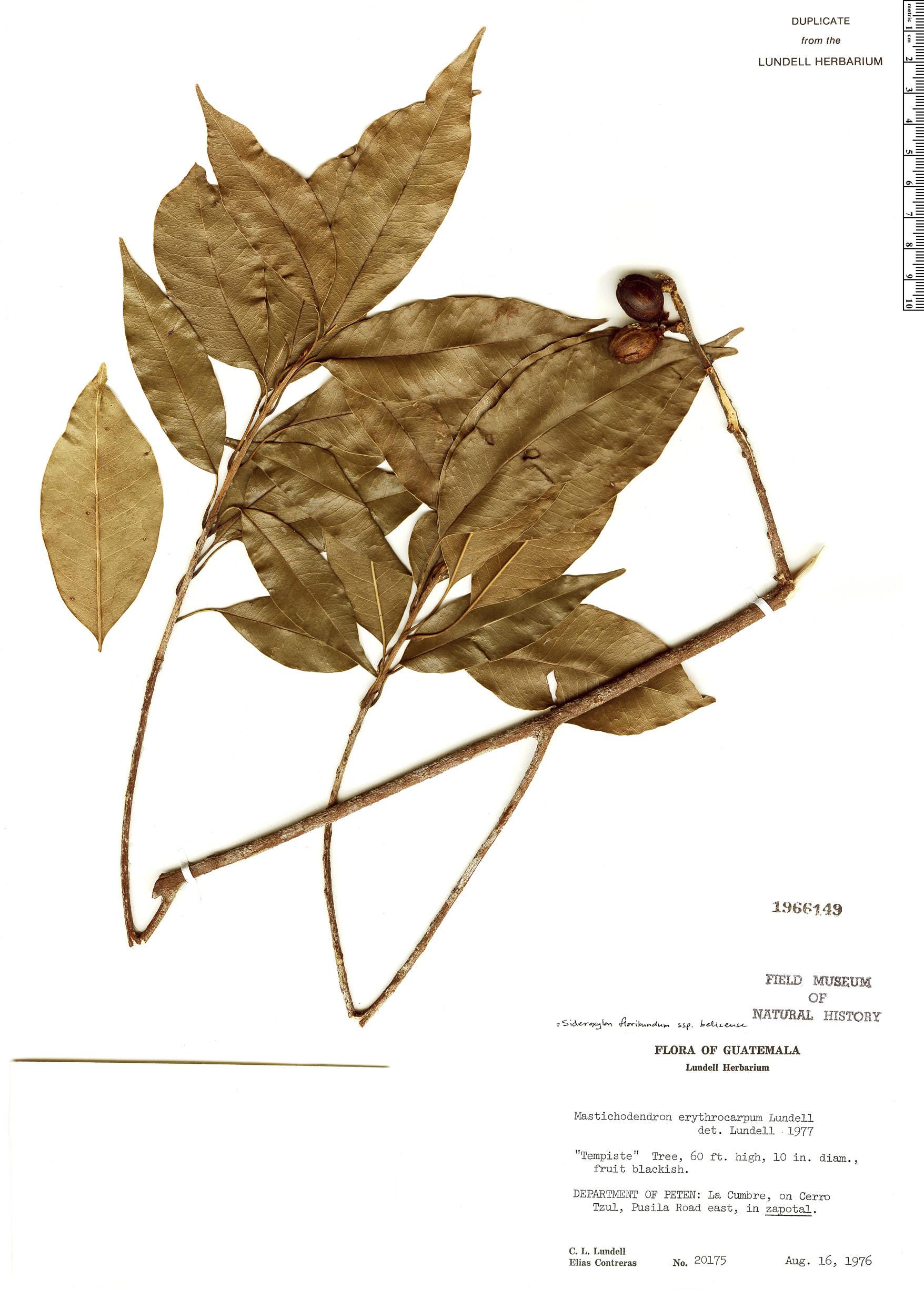 Specimen: Sideroxylon floribundum