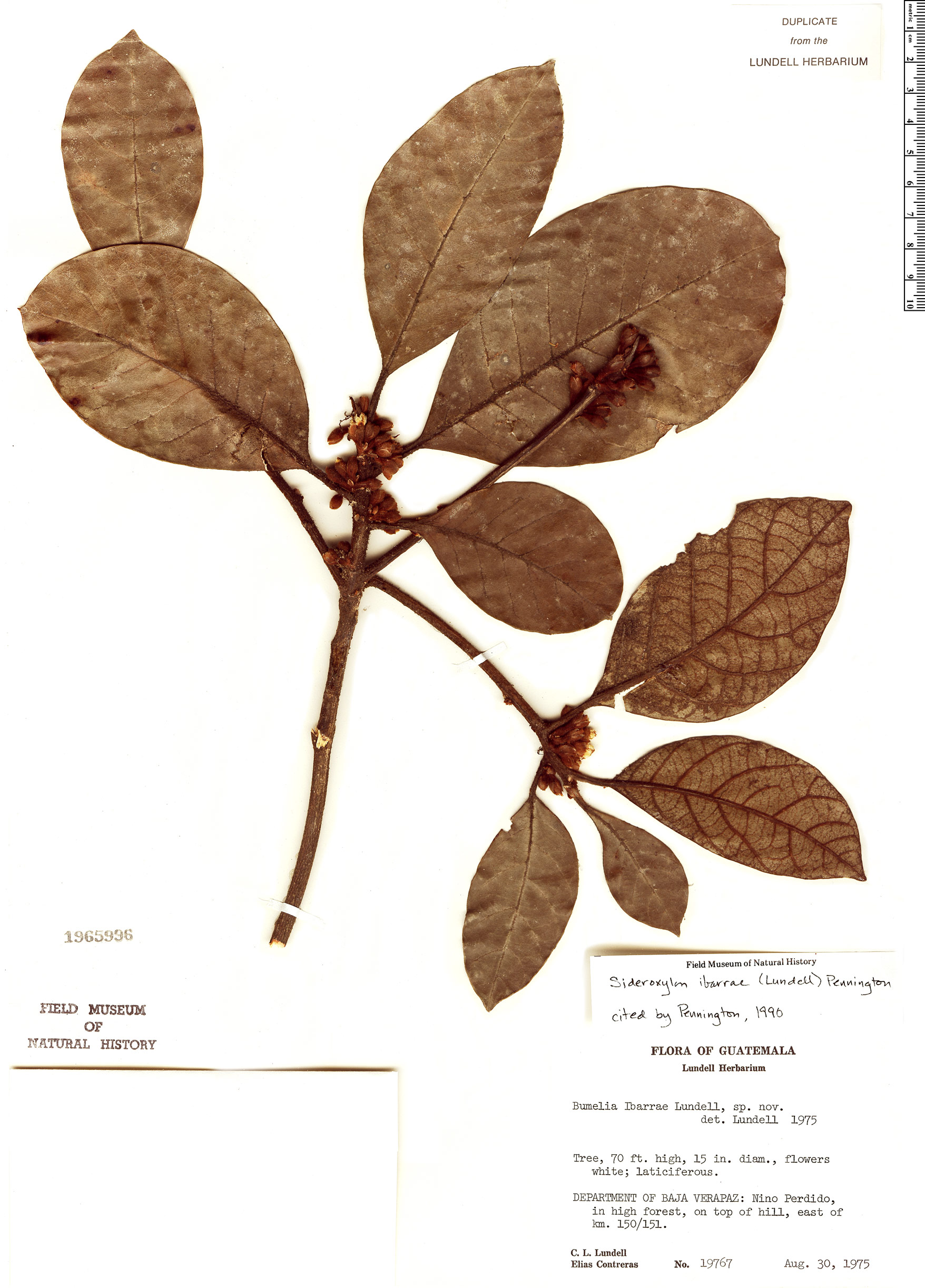Specimen: Sideroxylon ibarrae