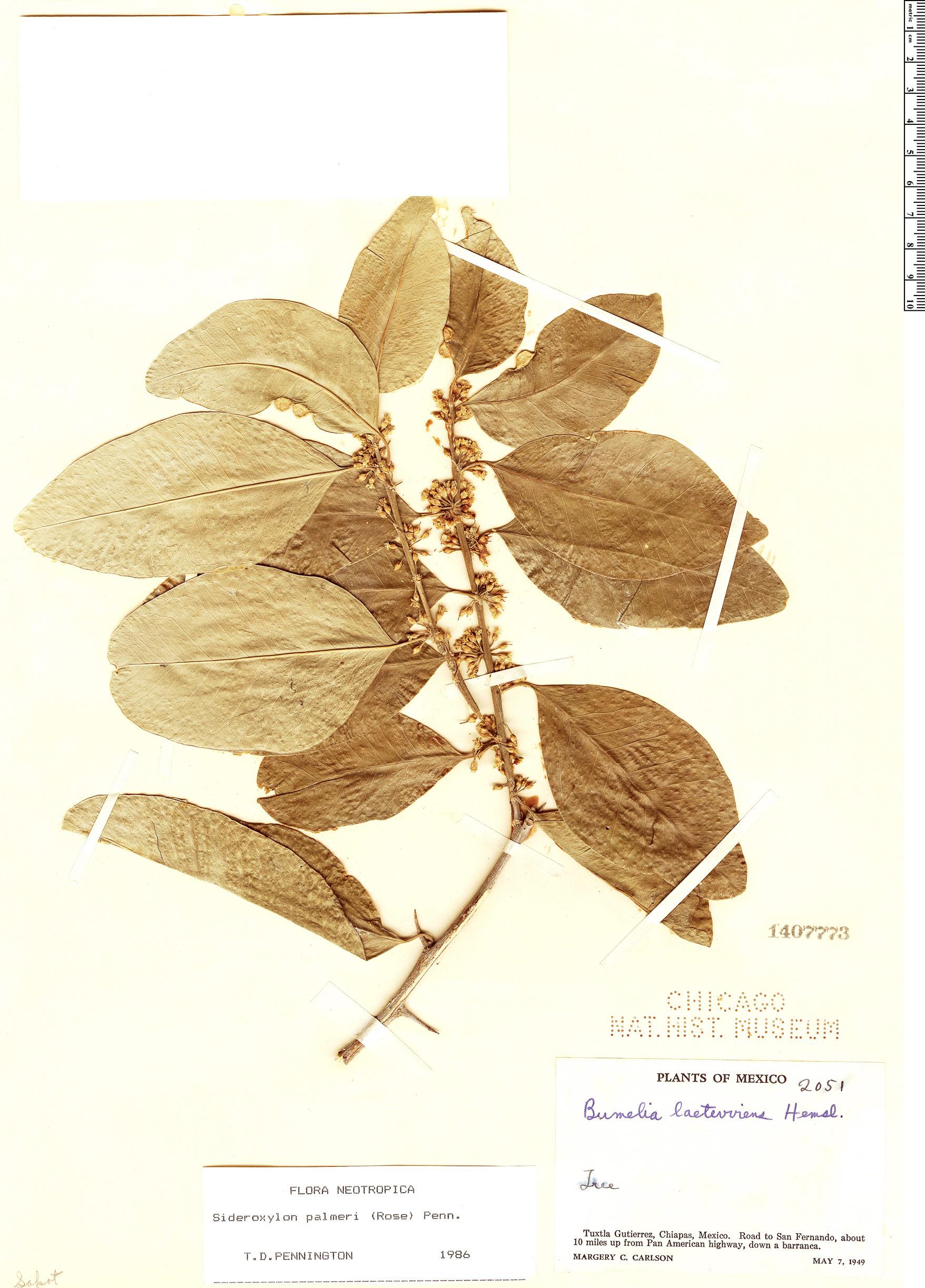 Specimen: Sideroxylon palmeri