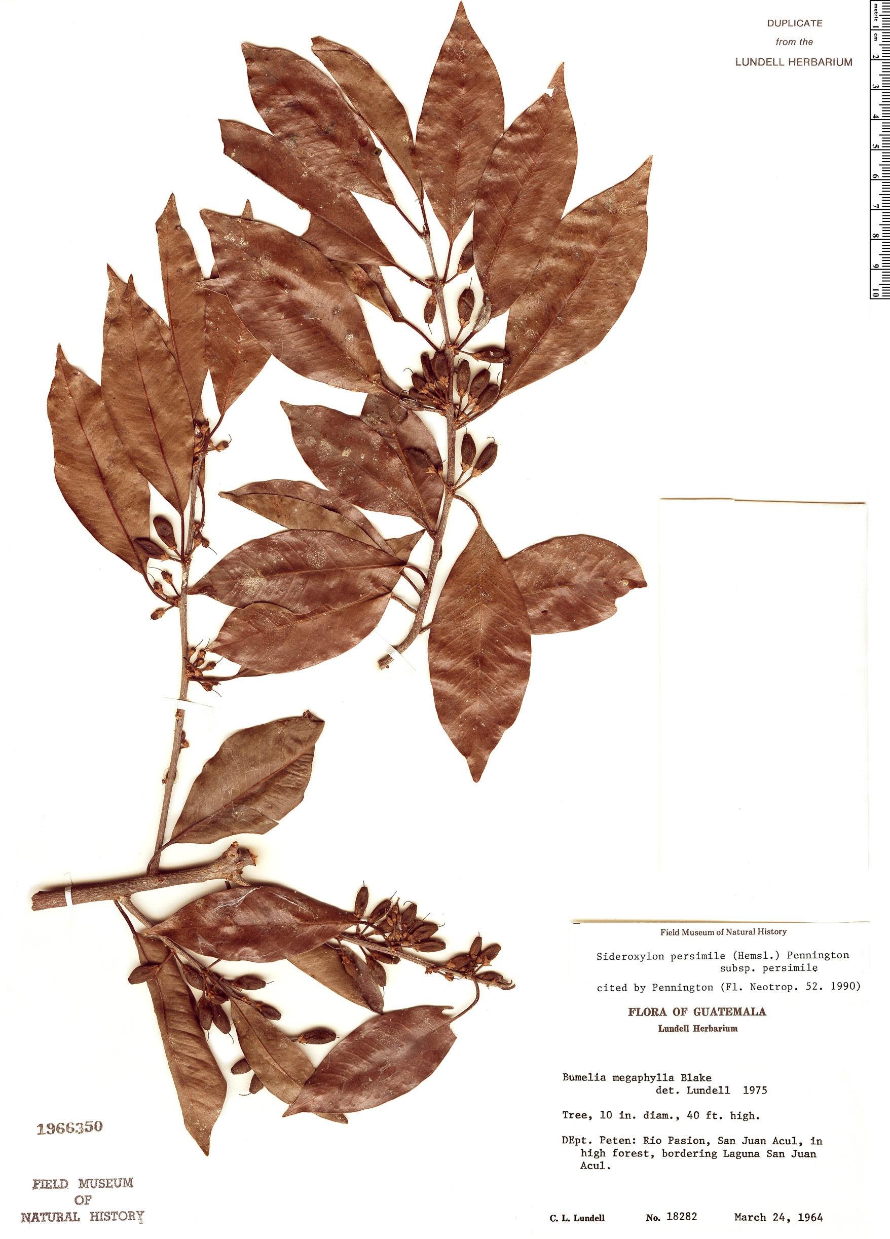 Espécimen: Sideroxylon persimile