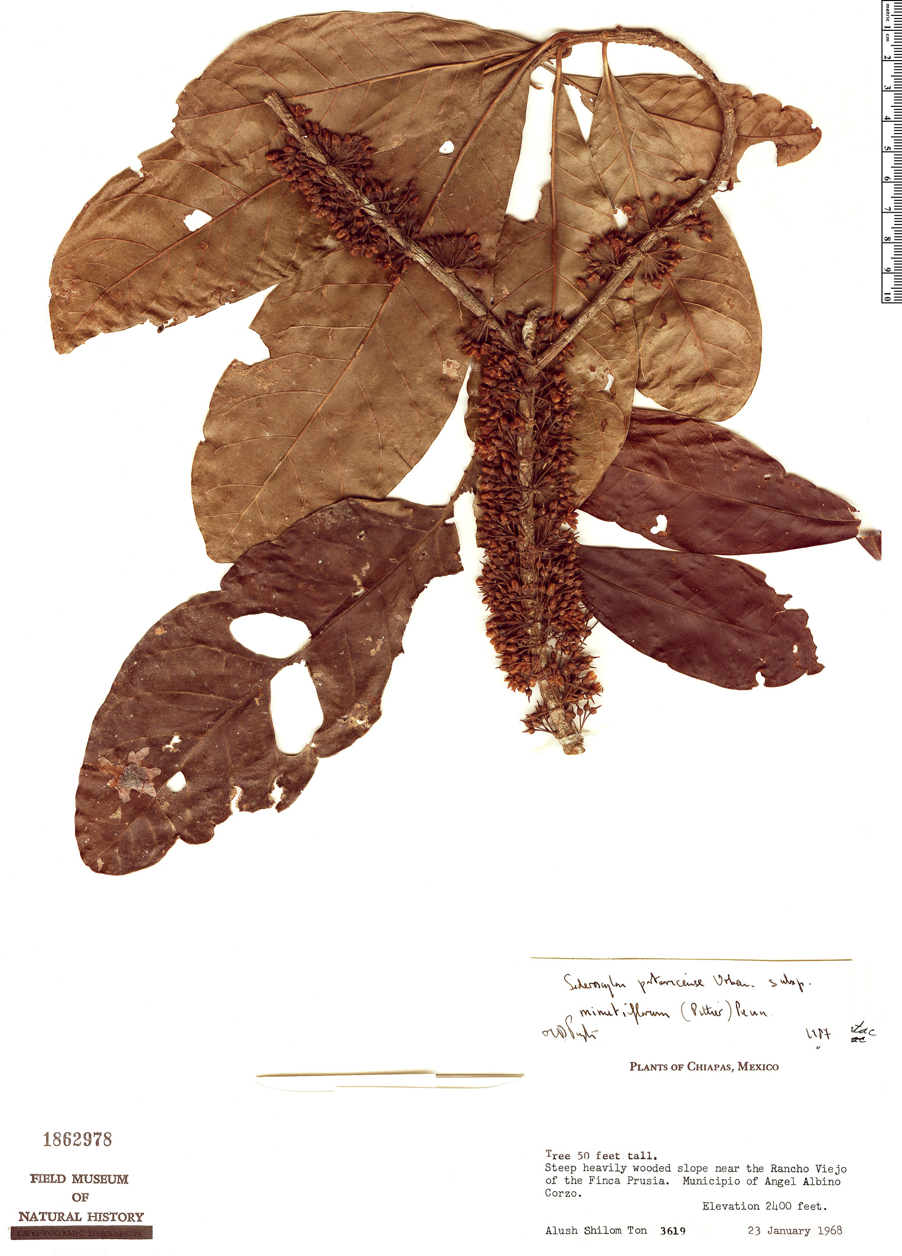 Specimen: Sideroxylon portoricense
