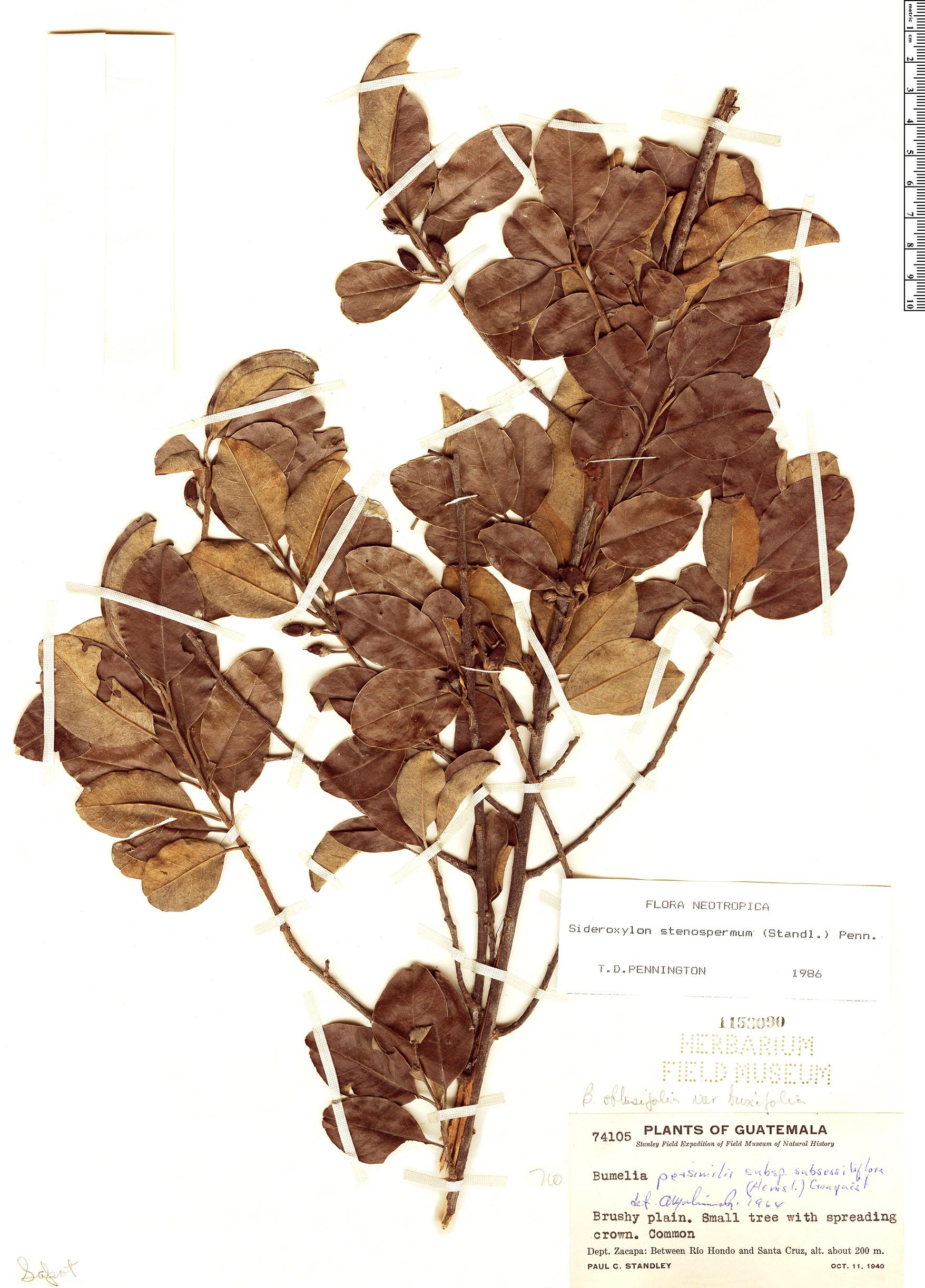 Specimen: Sideroxylon stenospermum