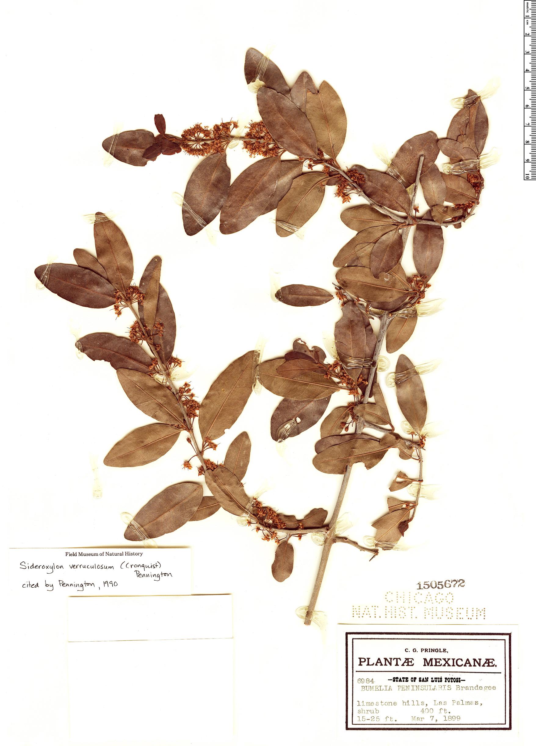 Specimen: Sideroxylon verruculosum