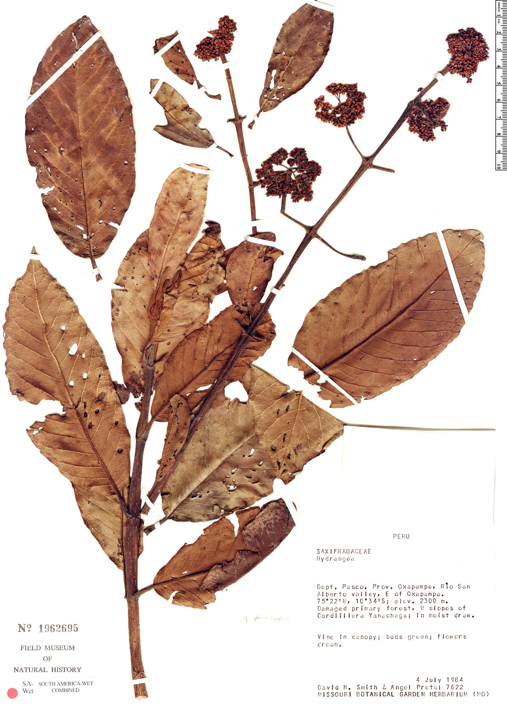 Specimen: Hydrangea jelskii