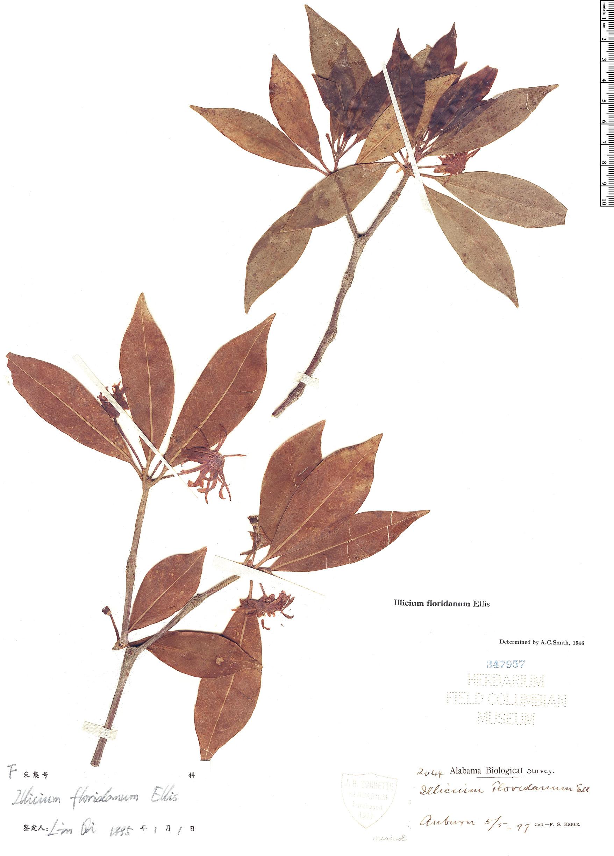 Specimen: Illicium floridanum