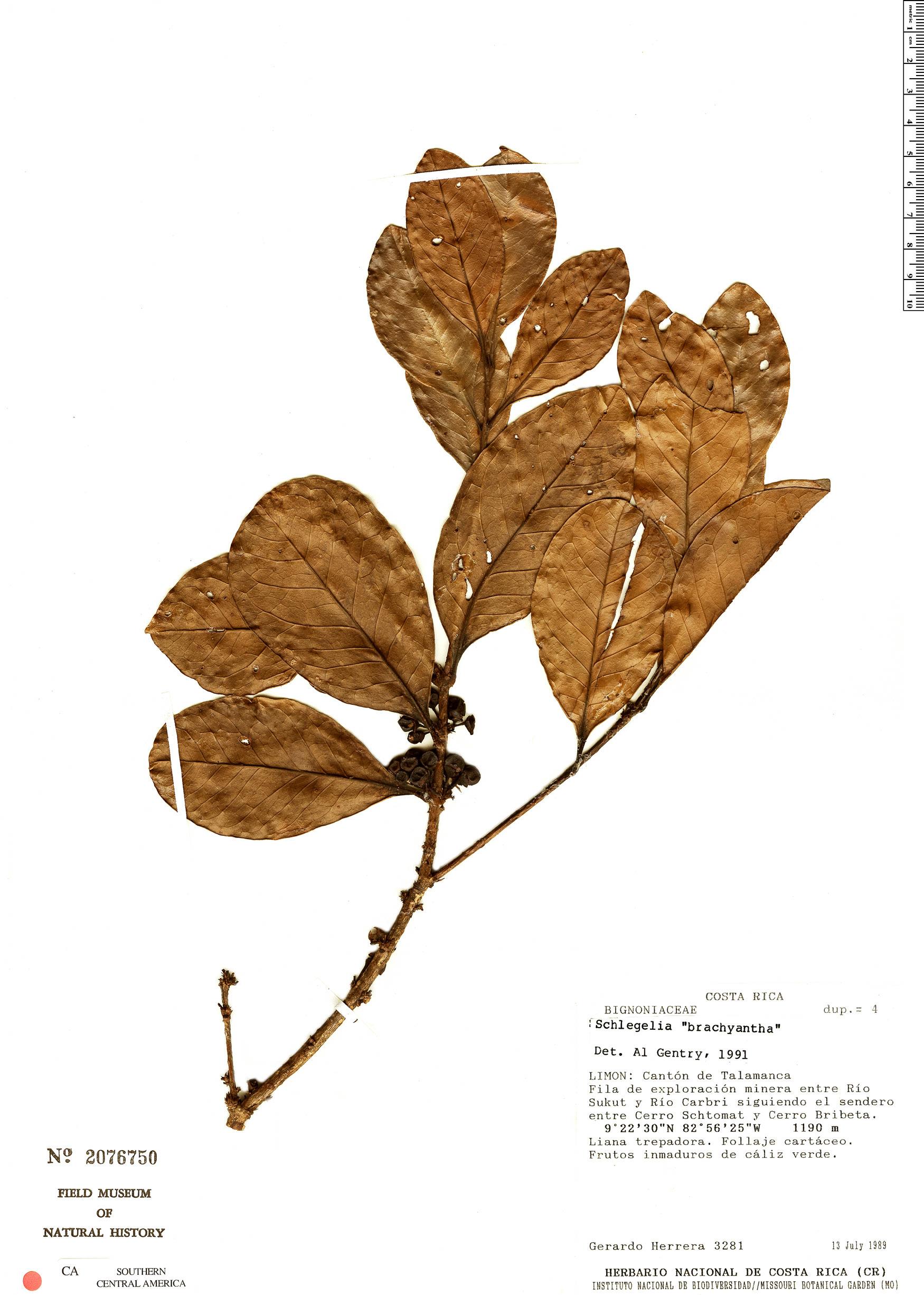 Specimen: Schlegelia brachyantha