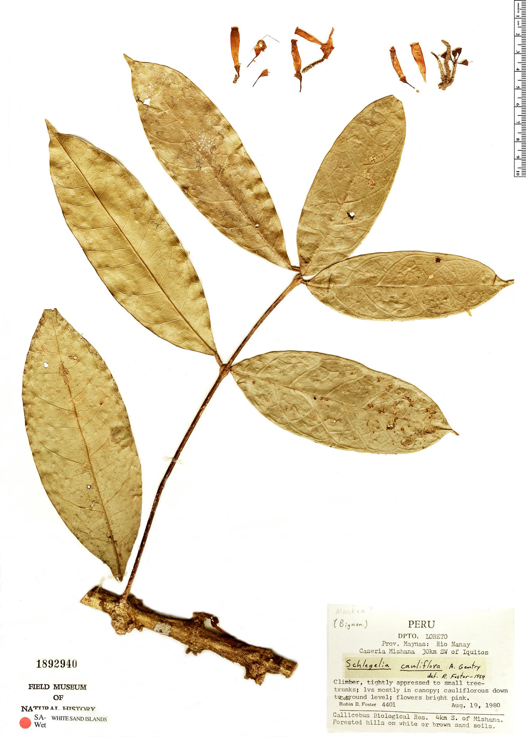 Specimen: Schlegelia cauliflora