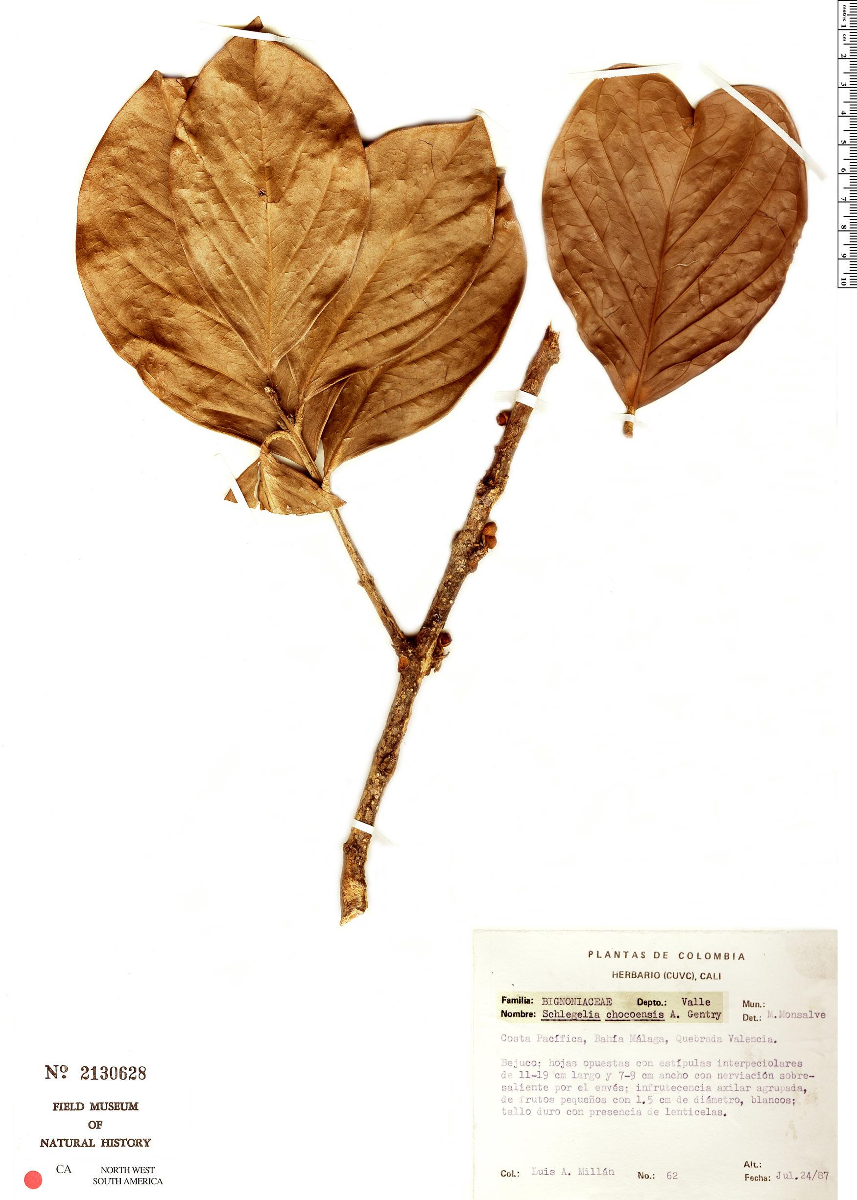 Espécimen: Schlegelia chocoensis