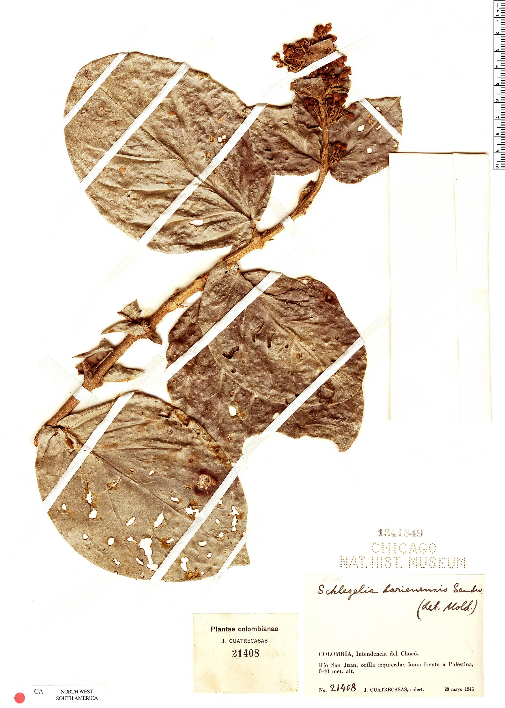 Specimen: Schlegelia darienensis