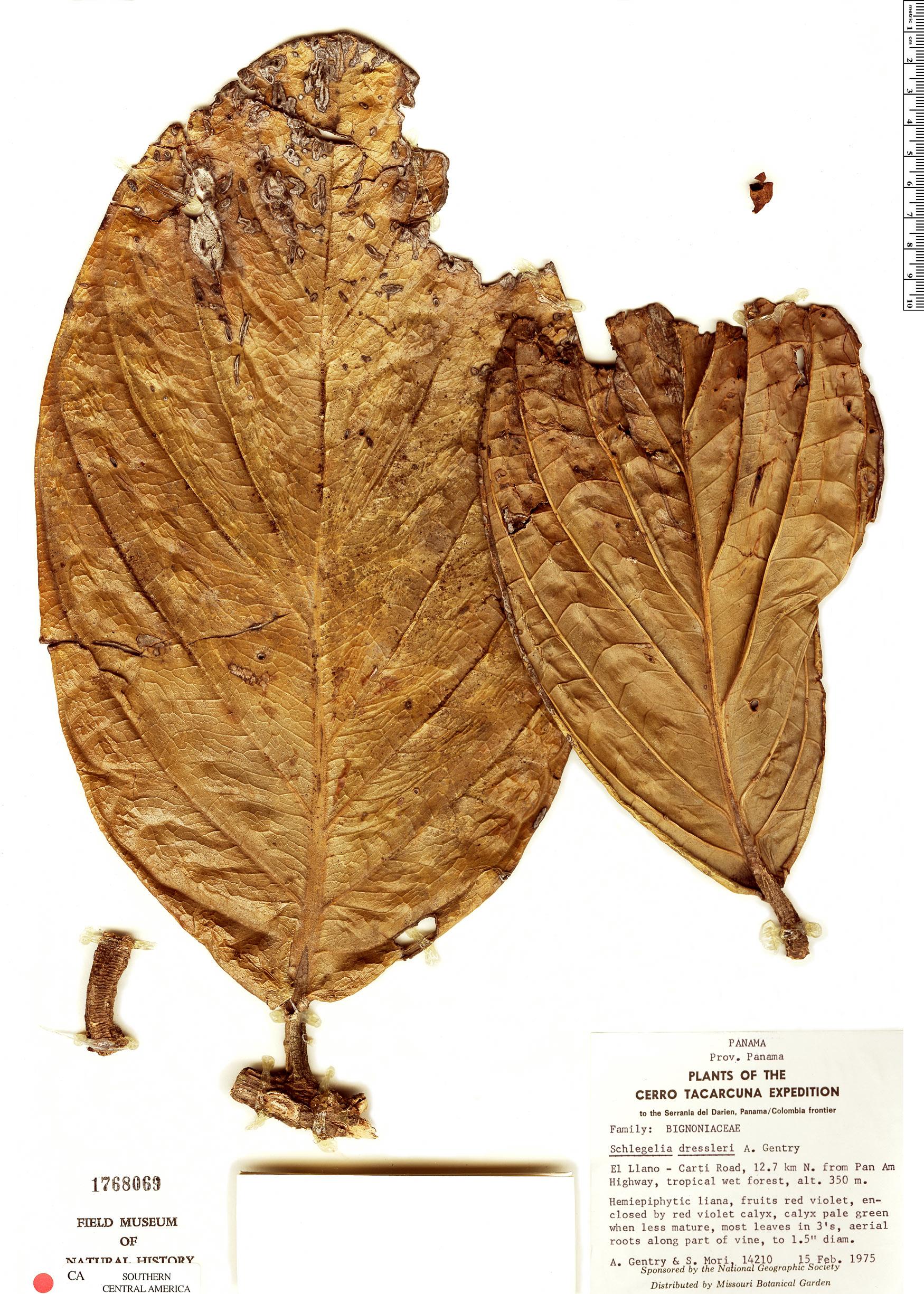Specimen: Schlegelia dressleri