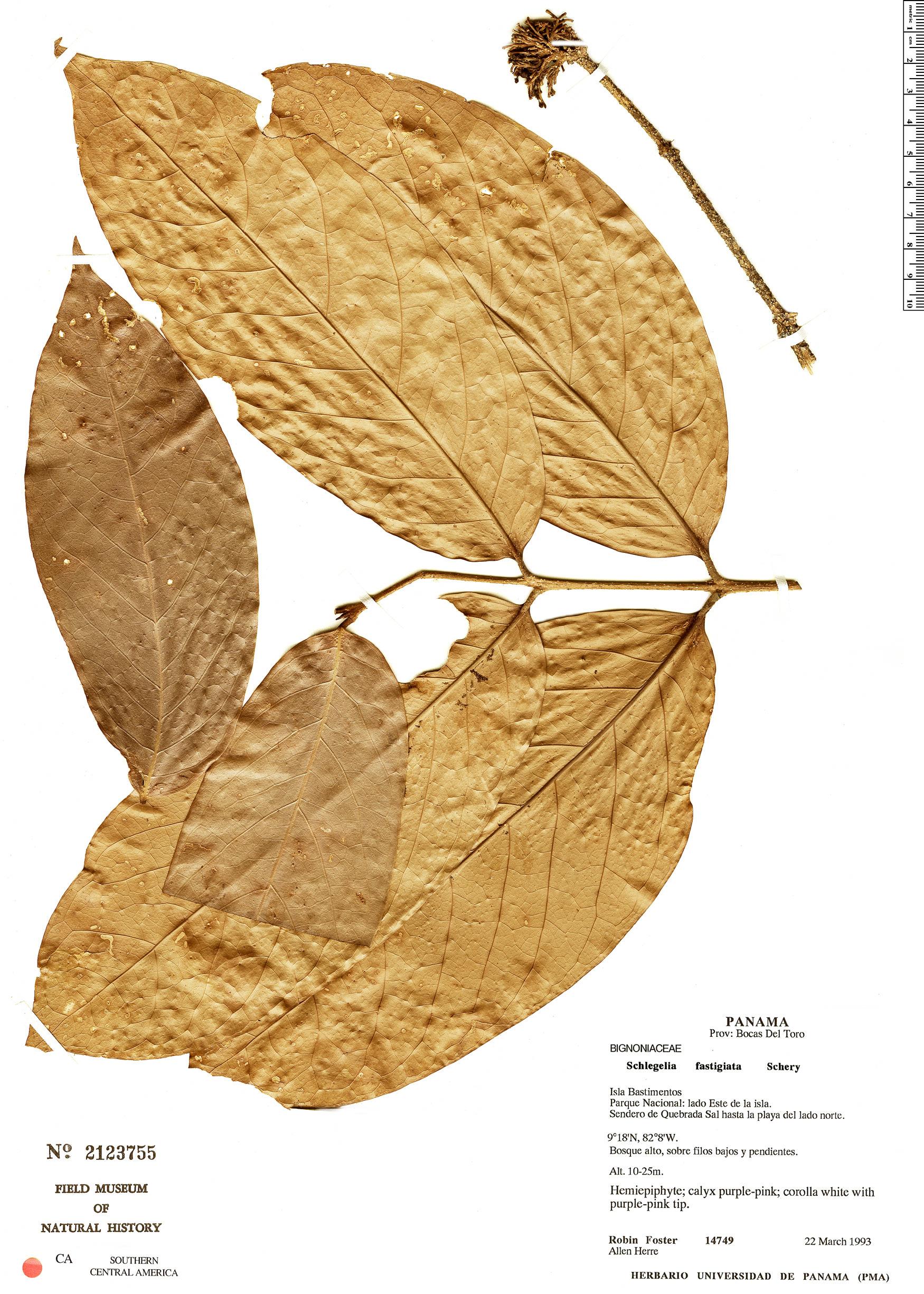 Specimen: Schlegelia fastigiata