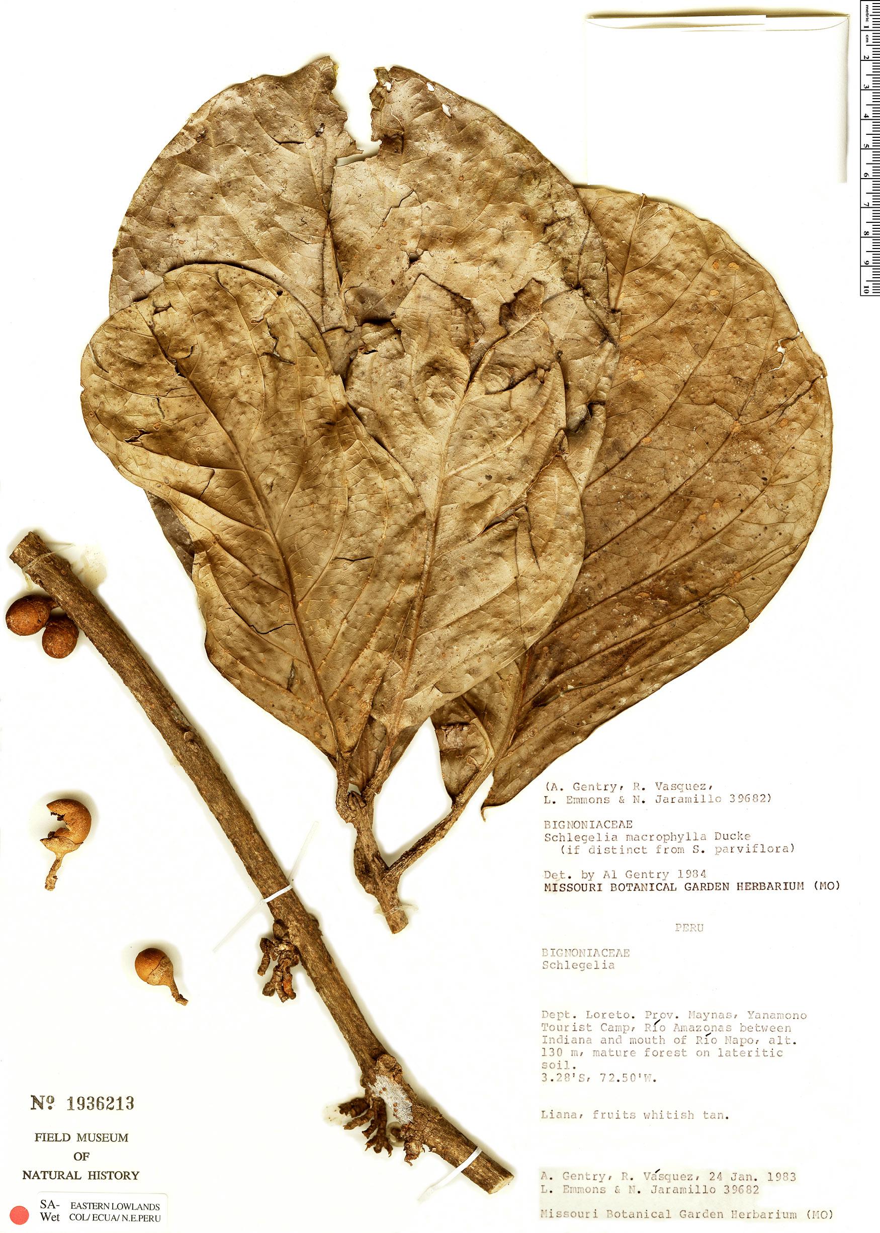 Specimen: Schlegelia macrophylla
