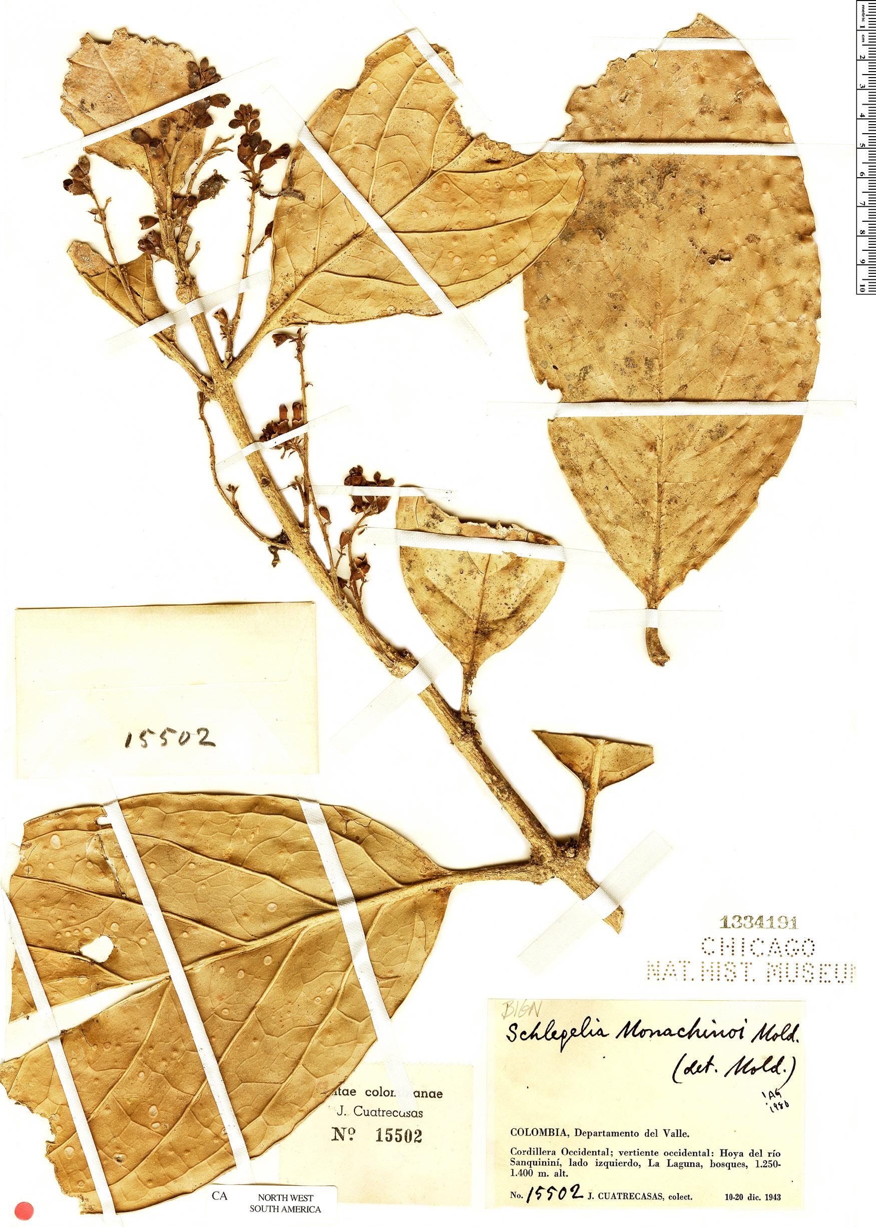 Specimen: Schlegelia monachinoi