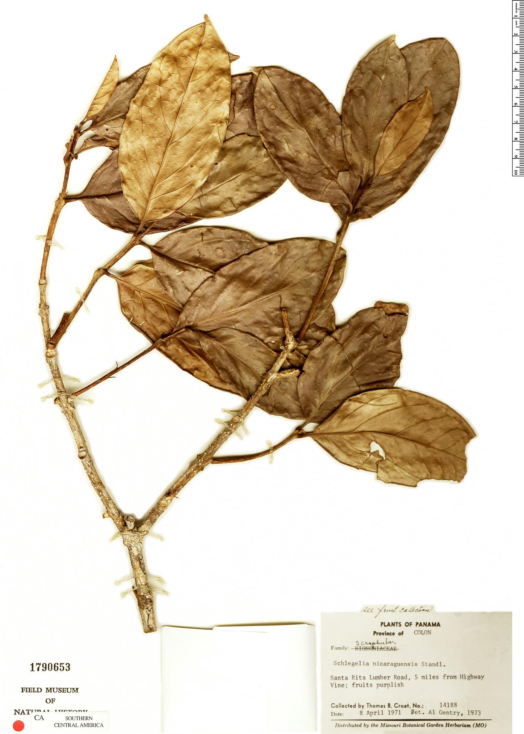 Specimen: Schlegelia nicaraguensis
