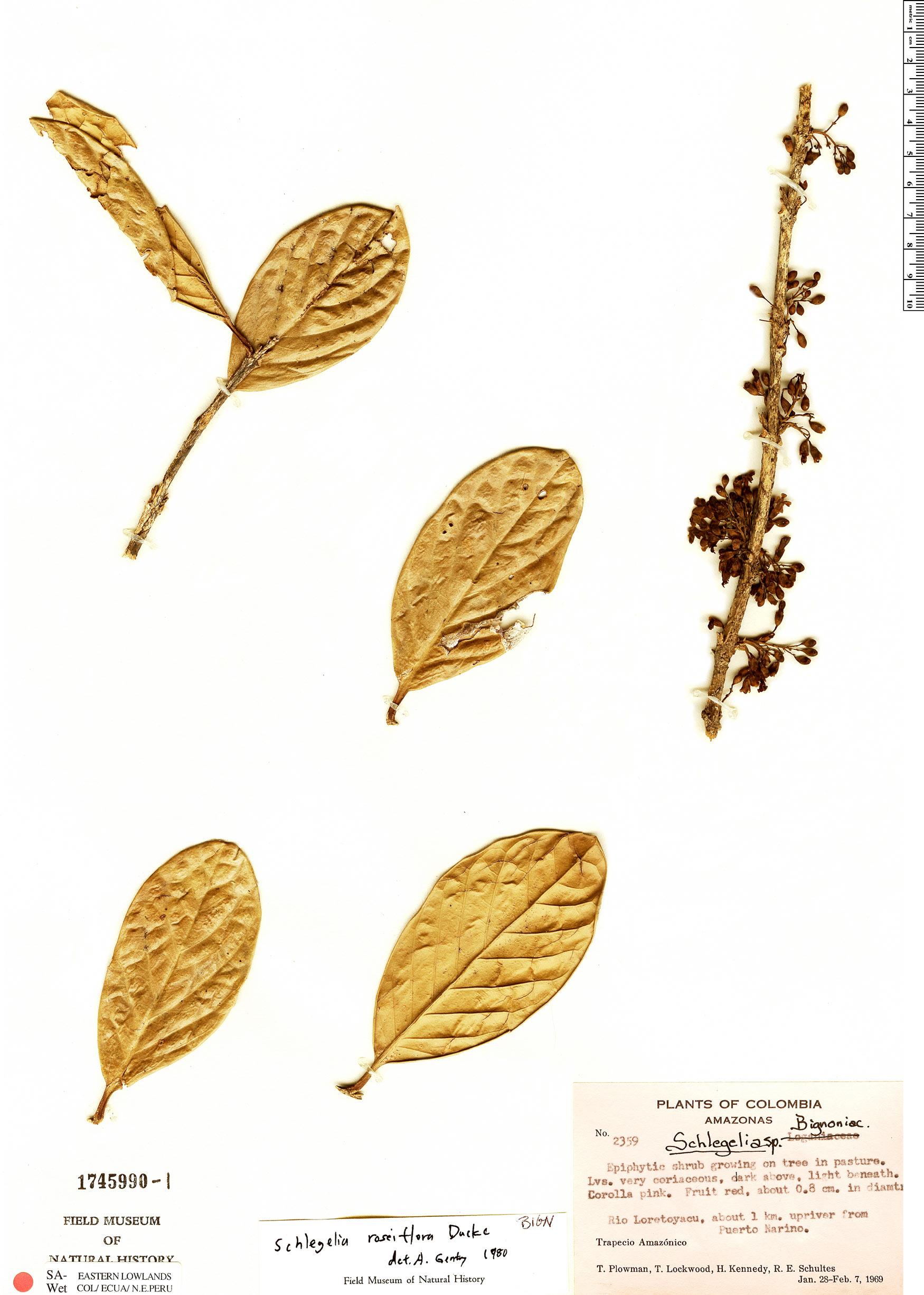 Specimen: Schlegelia roseiflora
