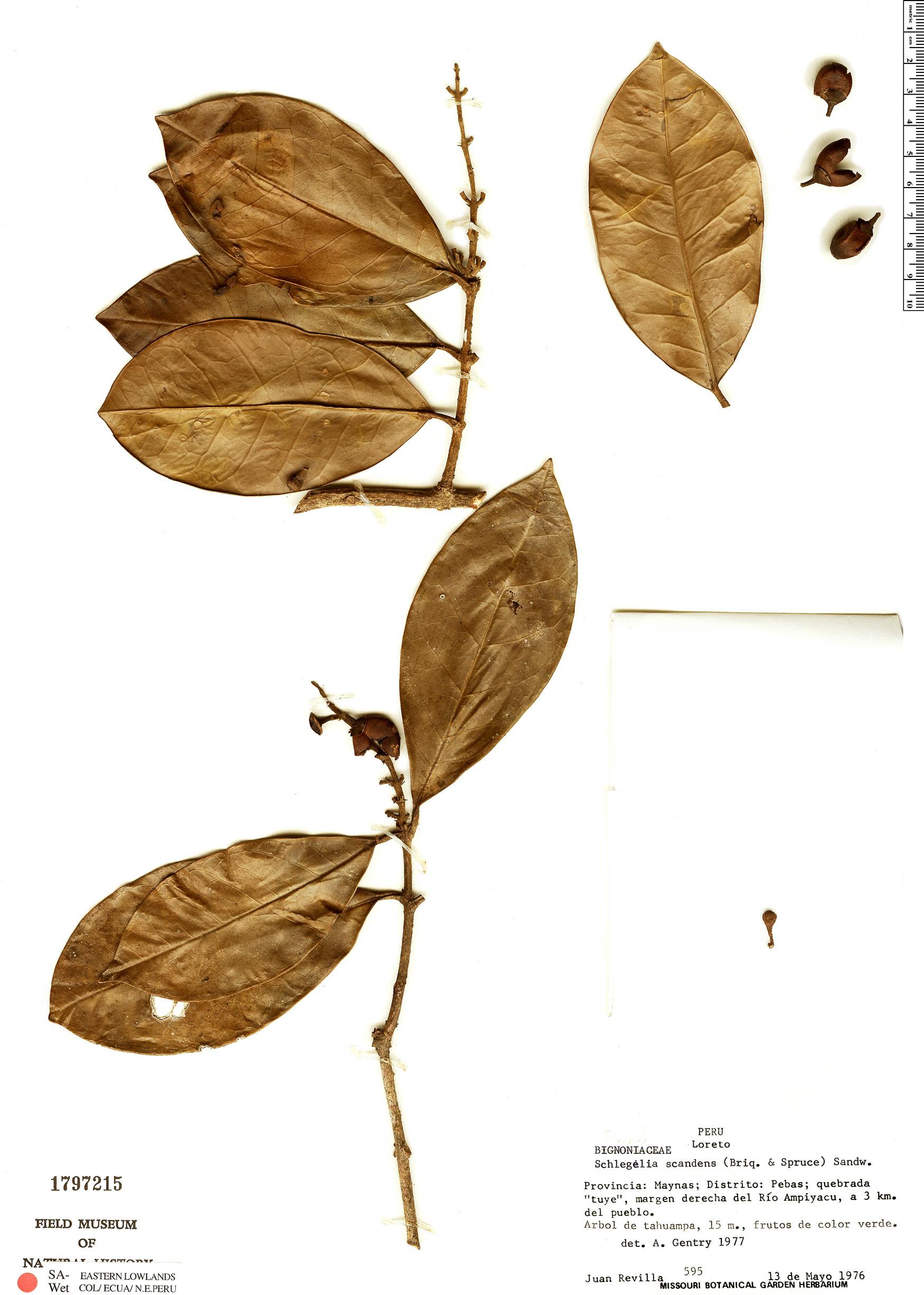 Specimen: Schlegelia scandens