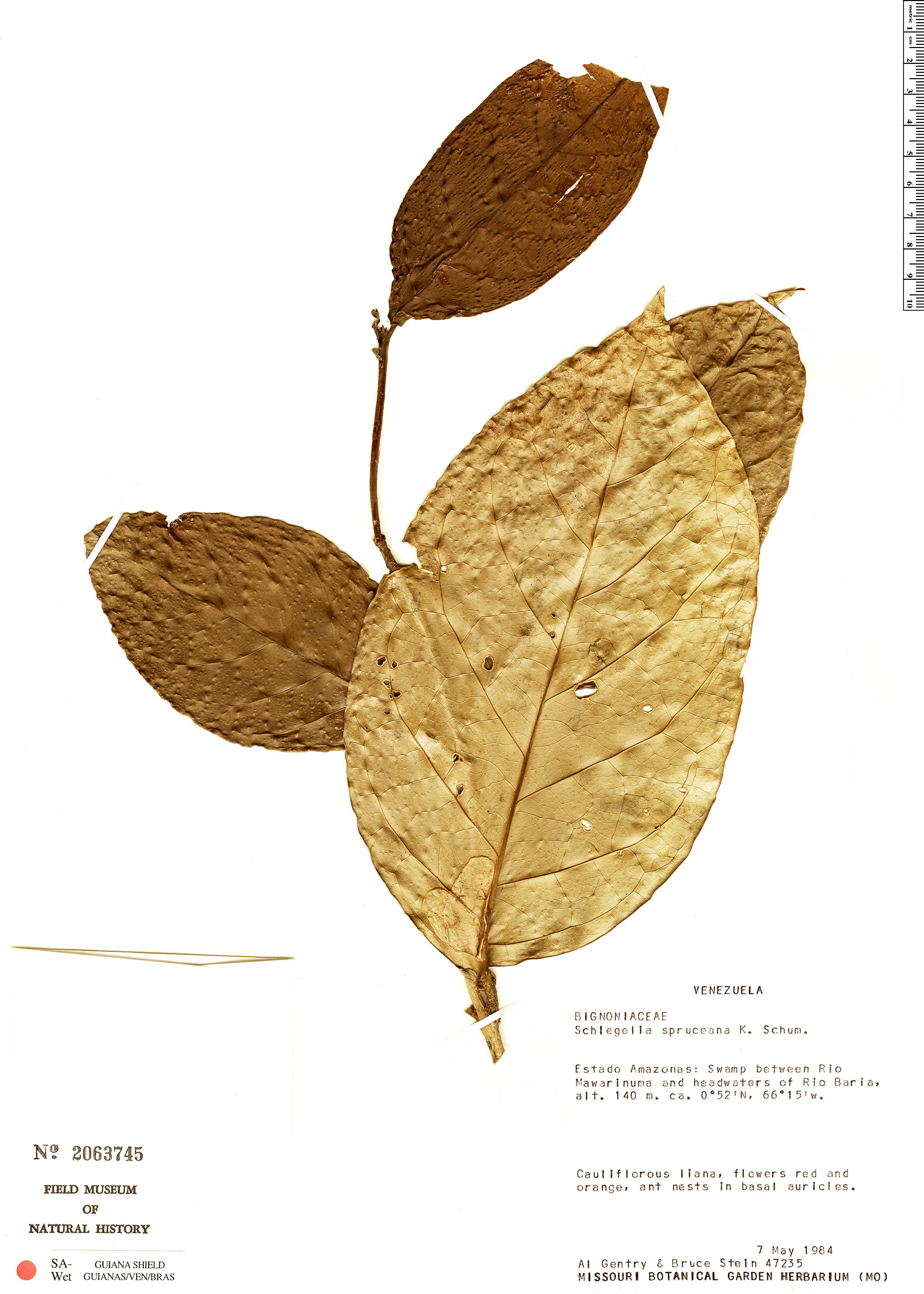 Specimen: Schlegelia spruceana